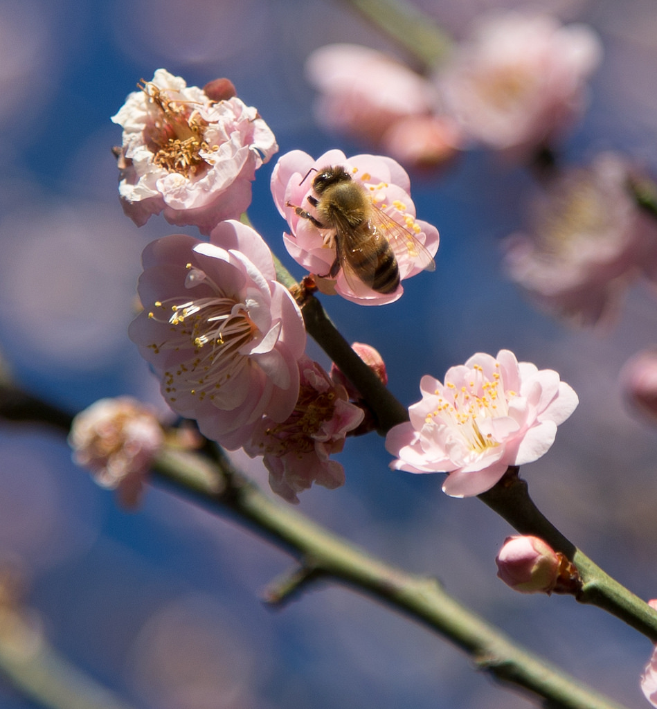 Bee on apricot blossom, Los Angeles County Arboretum