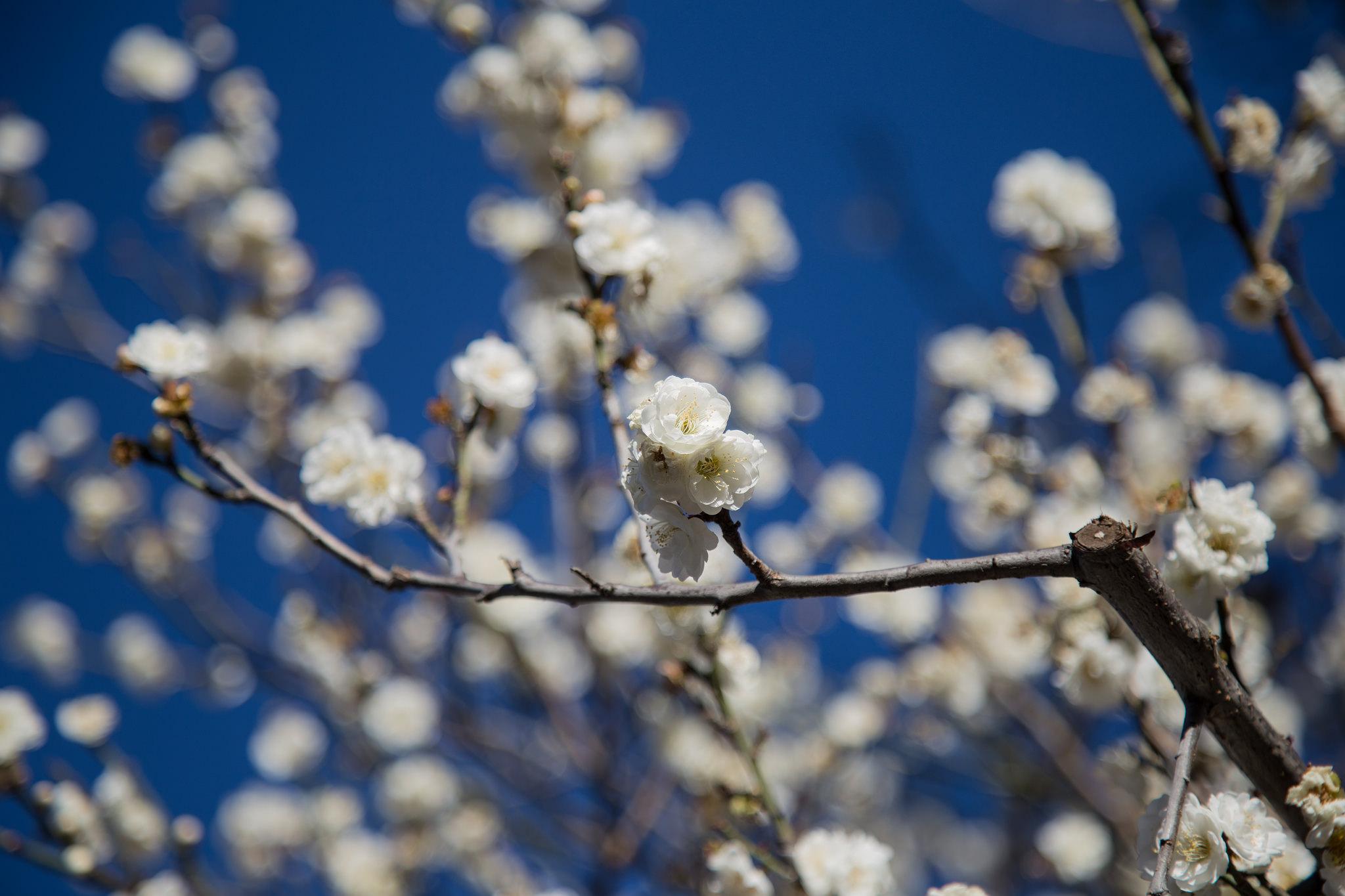 Apricot blossoms,Los Angeles County Arboretum