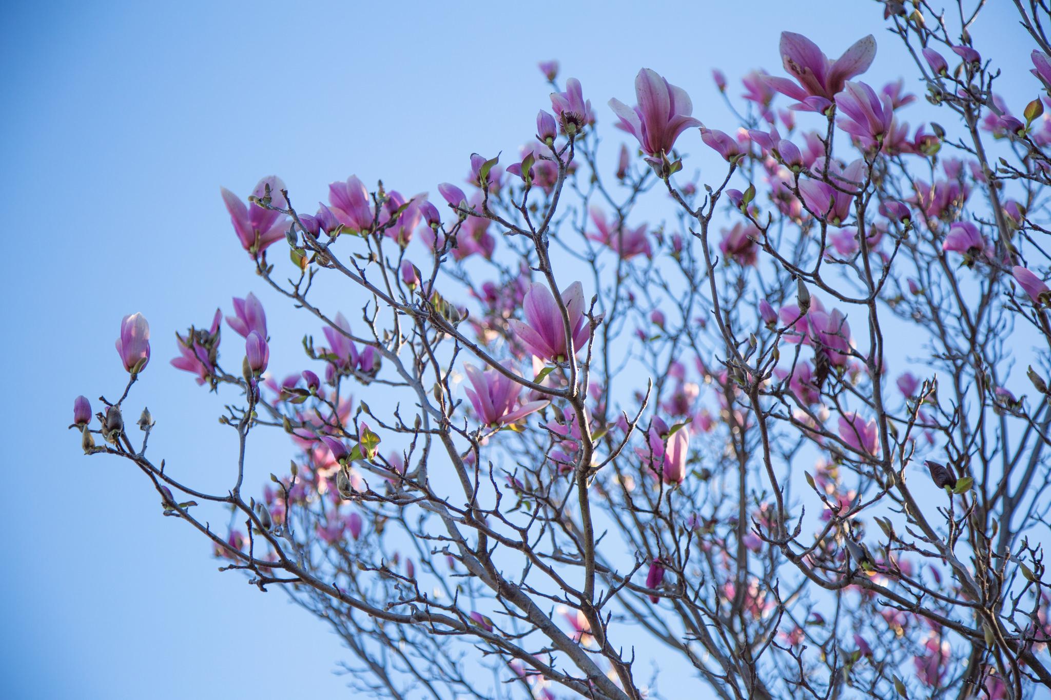 Magnolia,Los Angeles County Arboretum