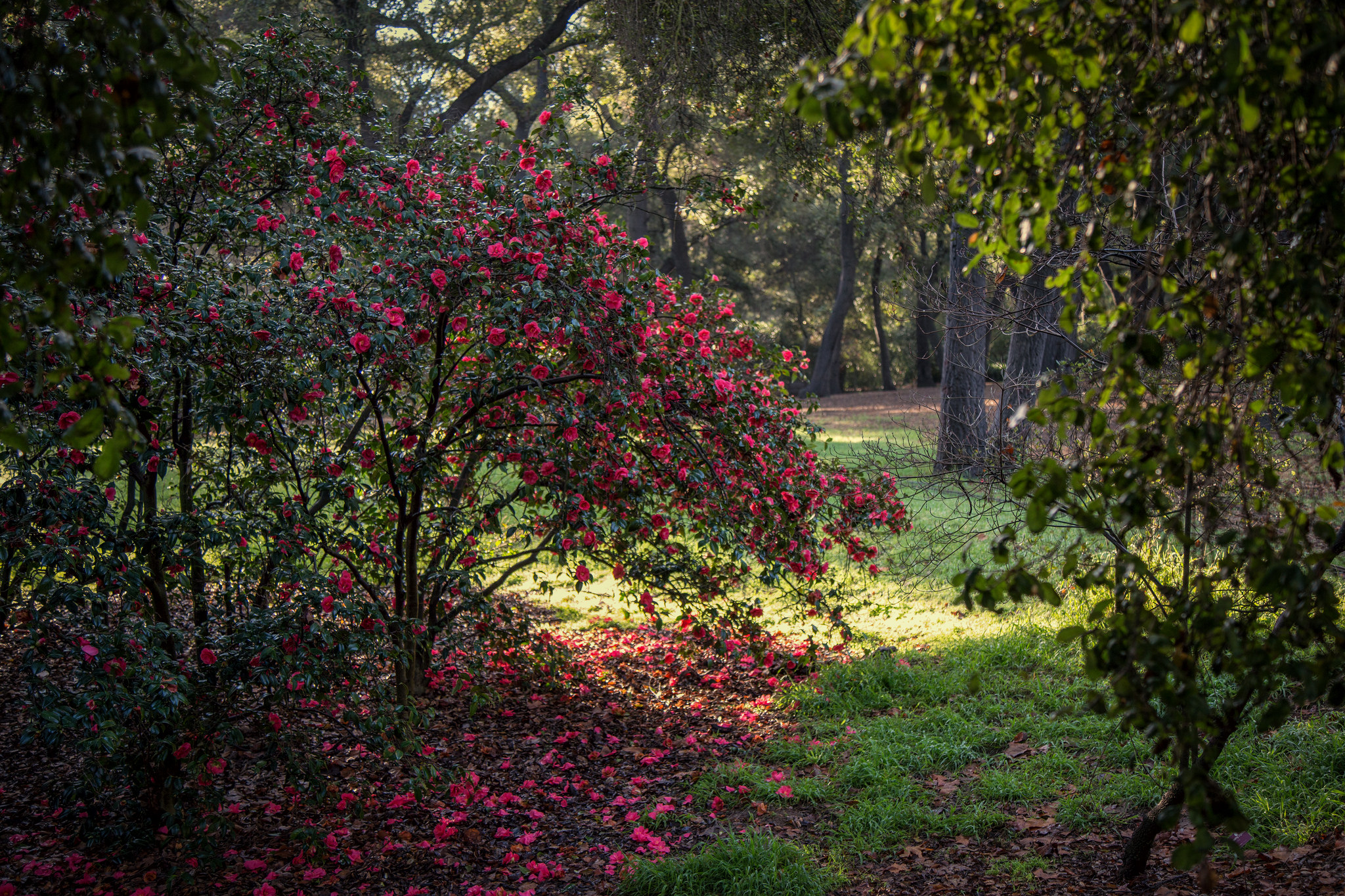 Beautiful camellia with oaks and sunlight on the grass.