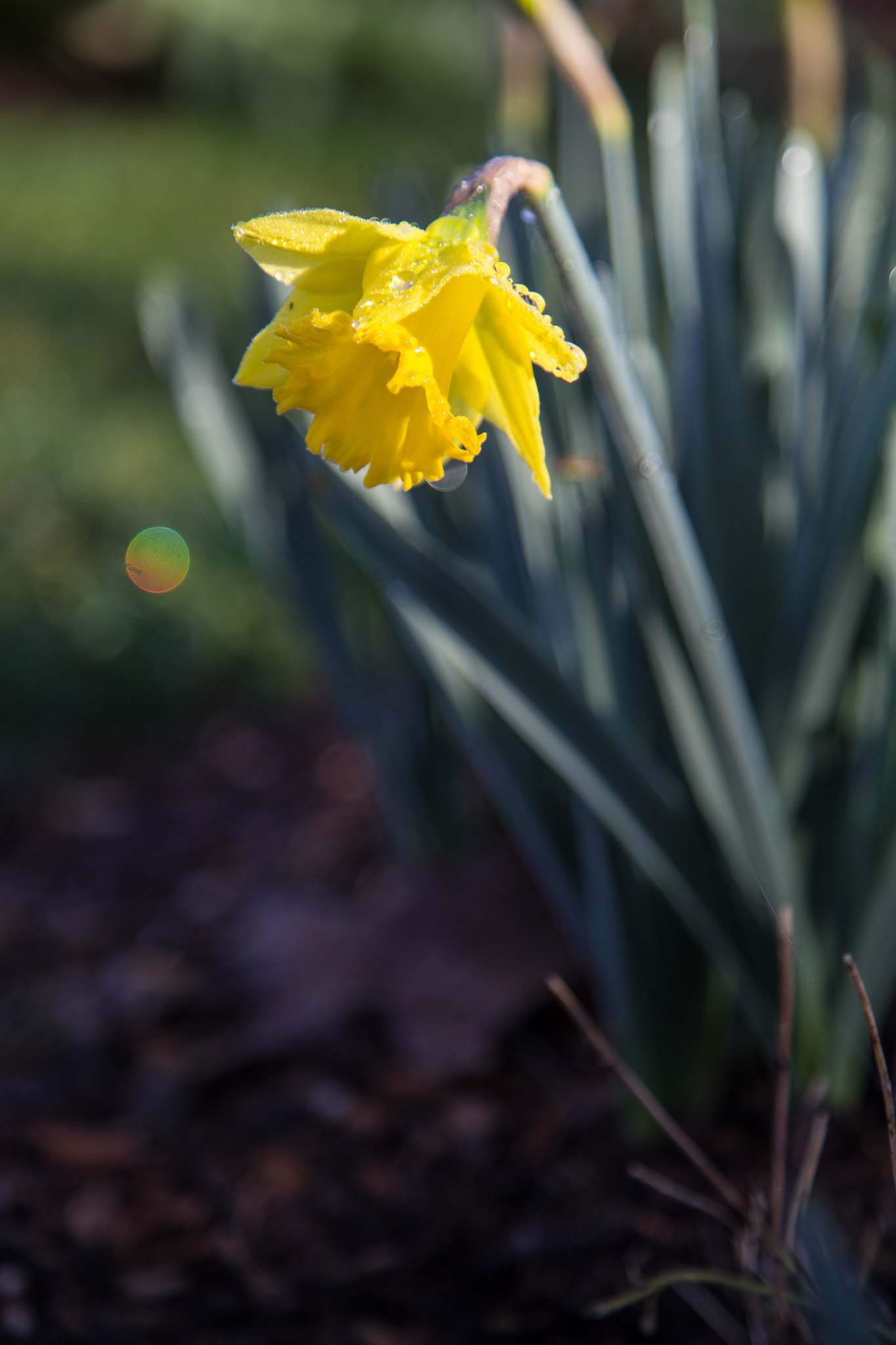 Daffodil with rainbow fairy orb.  There's always a little magic at Descanso.