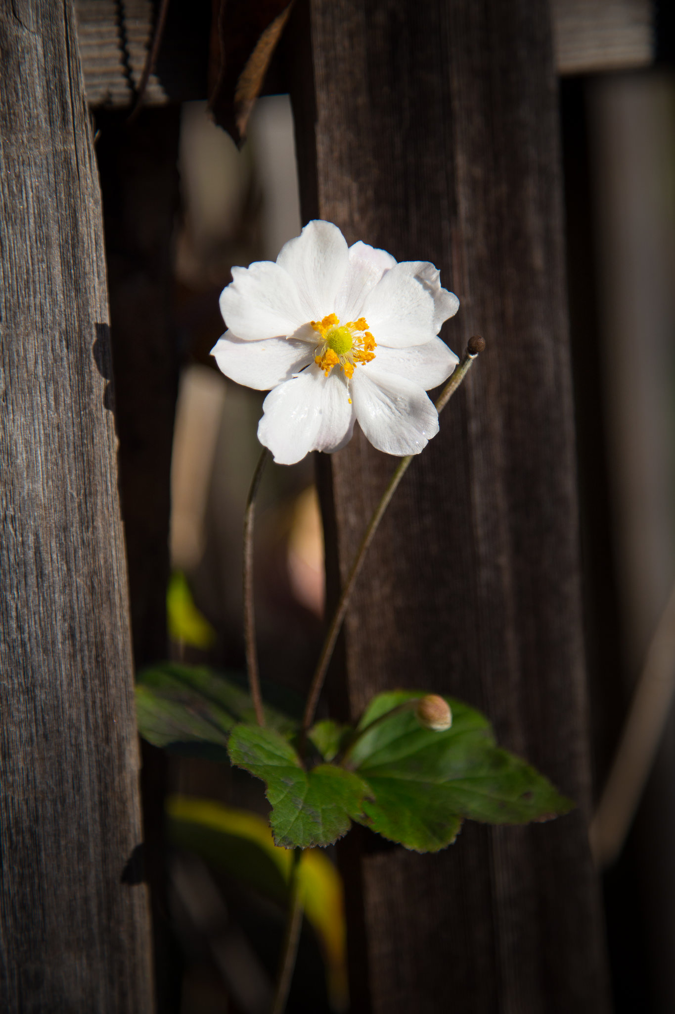 A lone Japanese Anemone by the cottage.