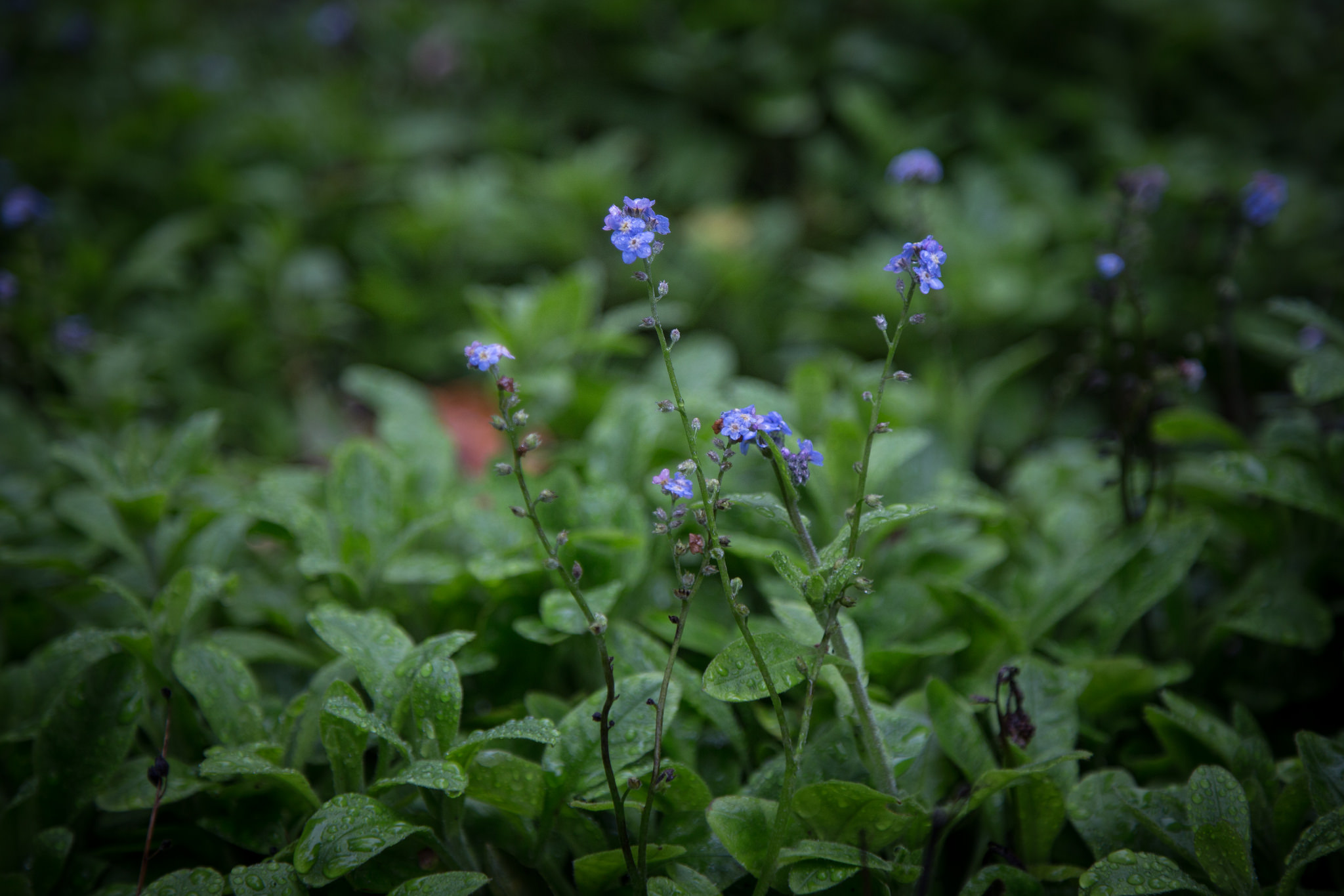 Forget me nots, a favorite of the fae.