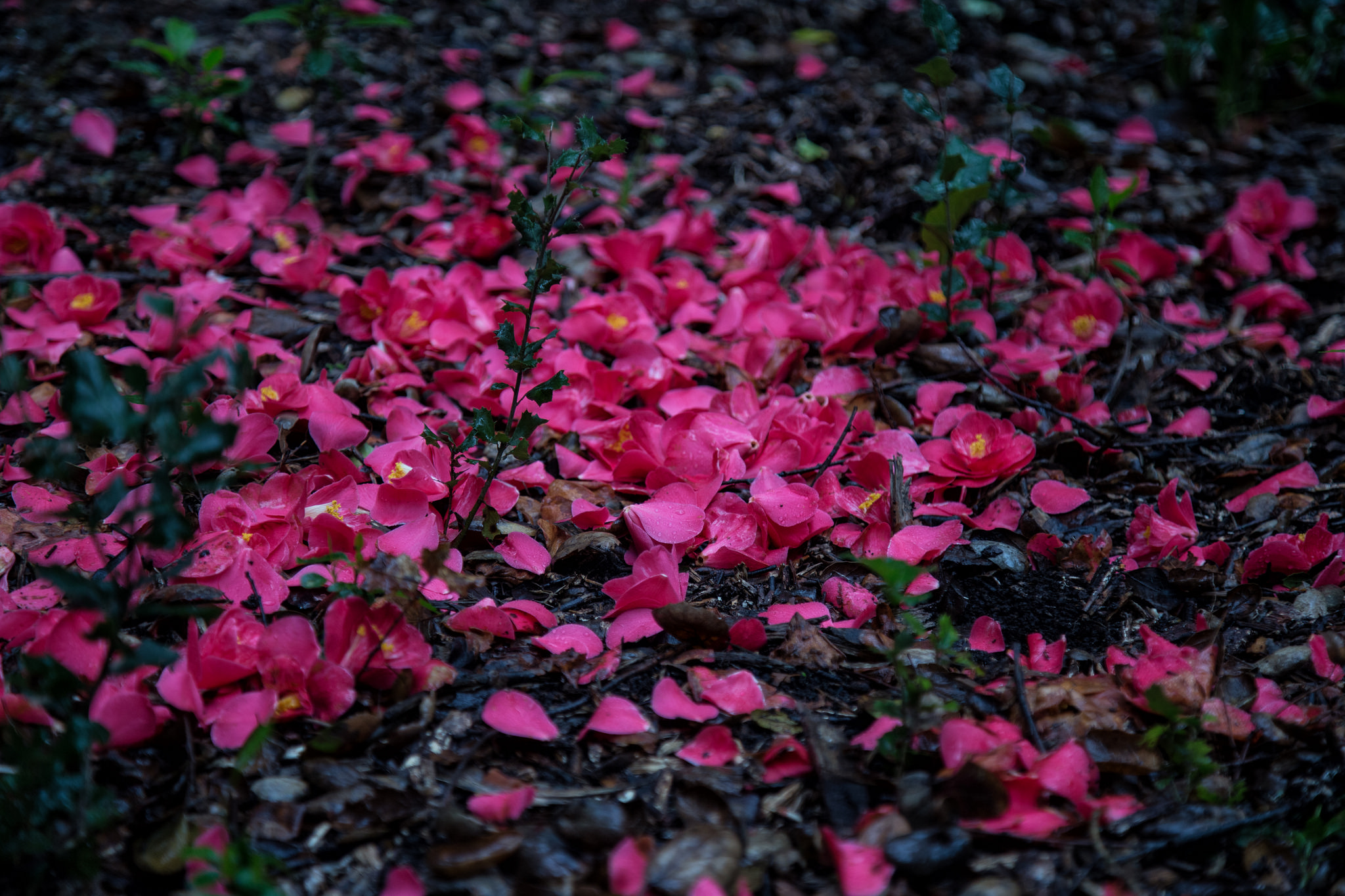 Fallen camellia flowers, like tiny valentines on the forest floor.