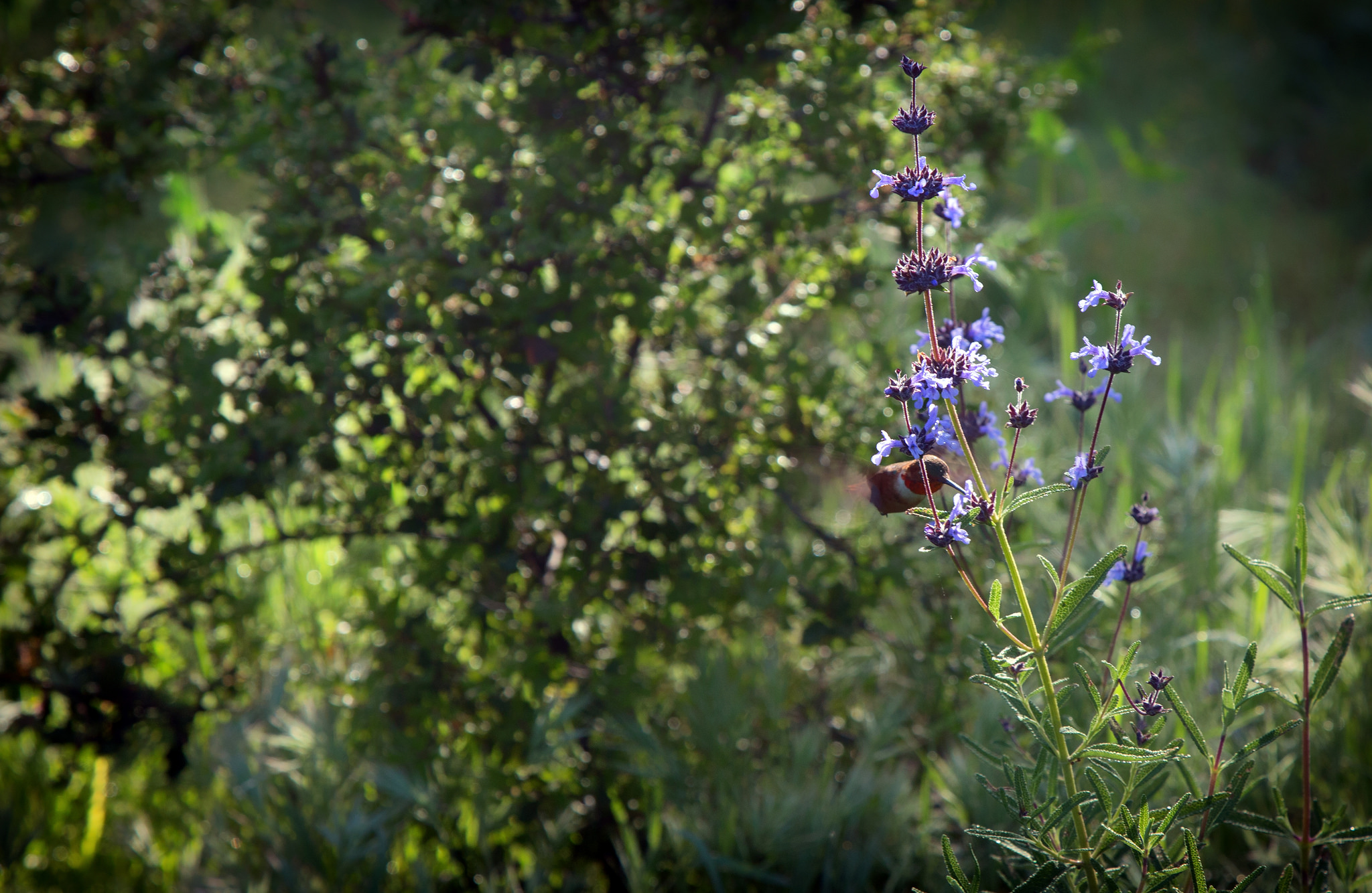 Hummingbird in the wildflowers