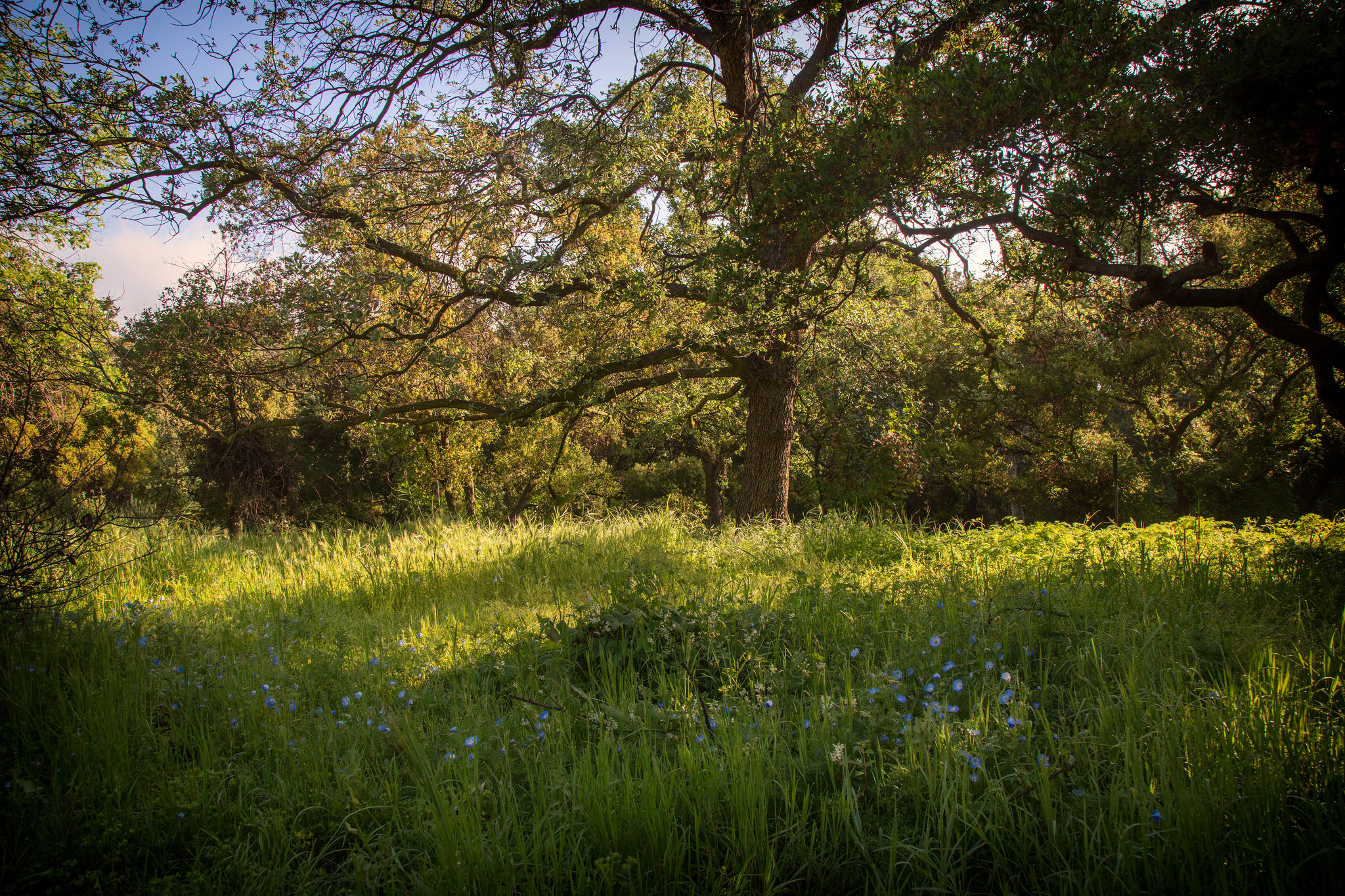 A beautiful oak in this magical meadow