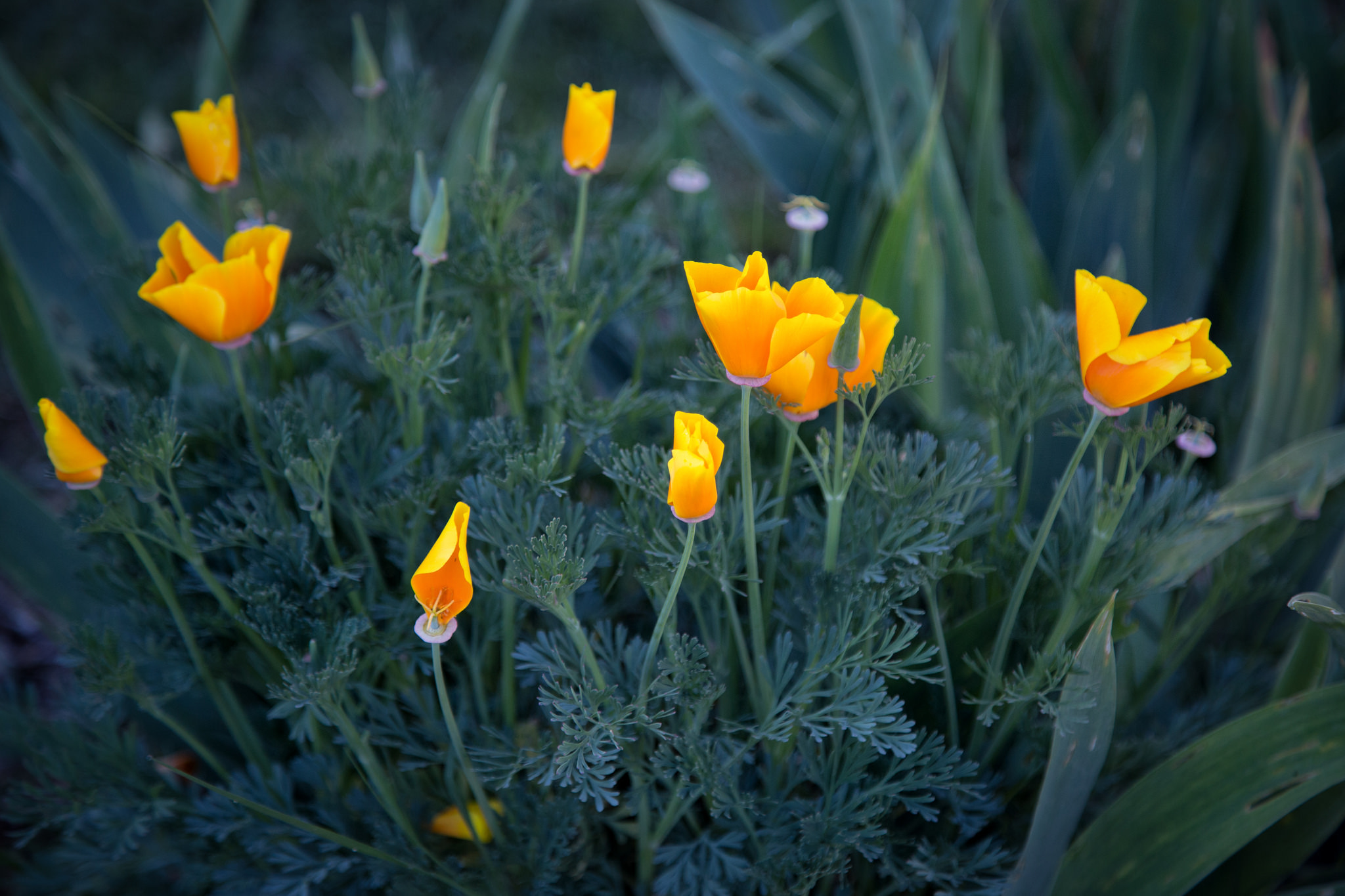 California Poppies are starting to bloom all throughout the garden.