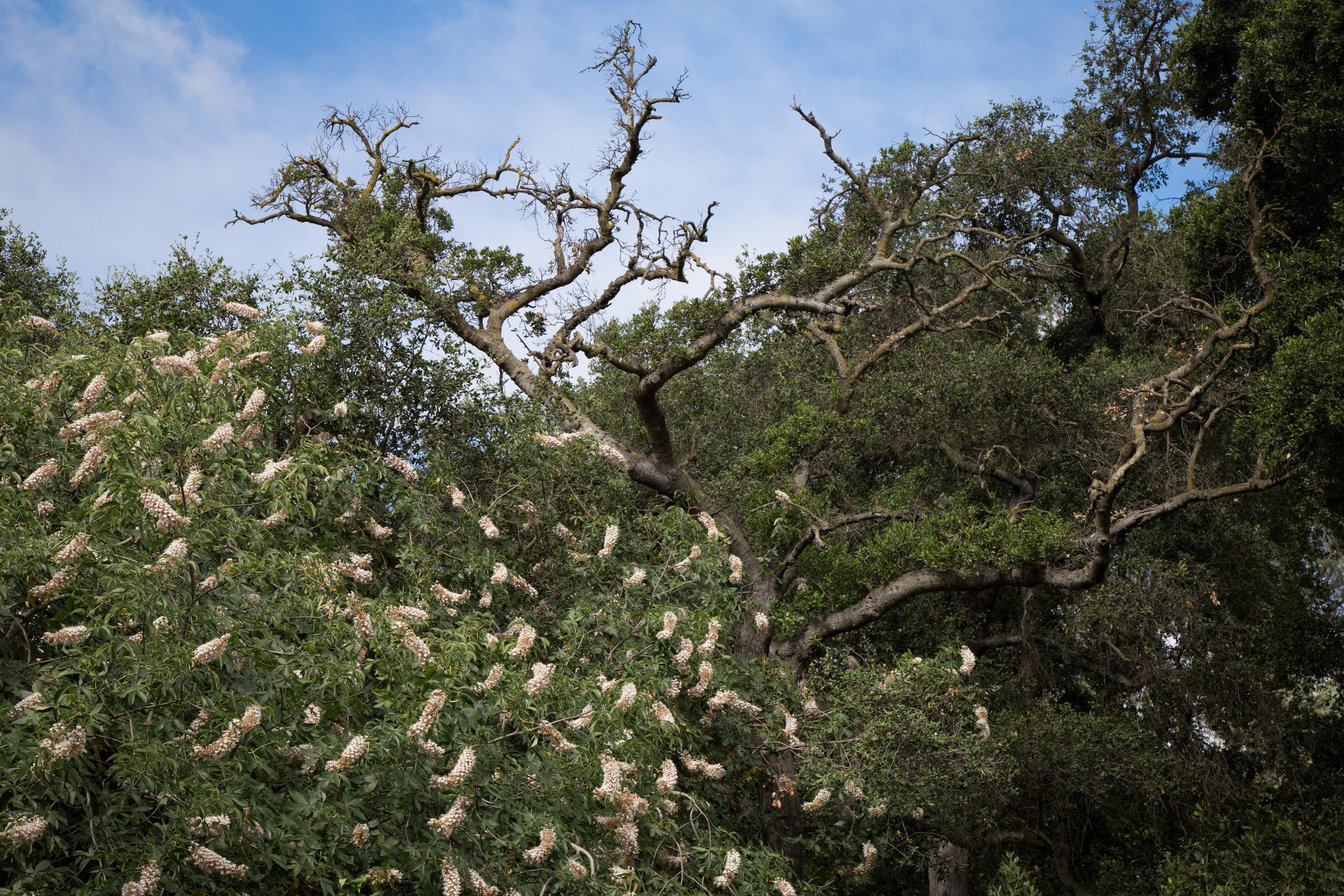 California Buckwheat and Oak