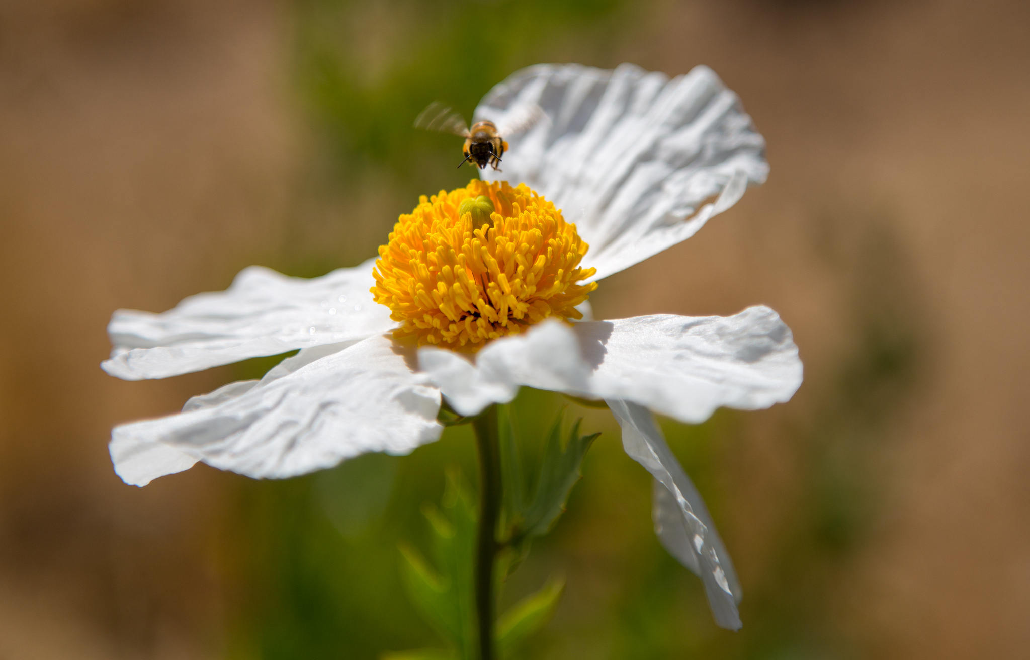 honey bee on Matilija Poppy