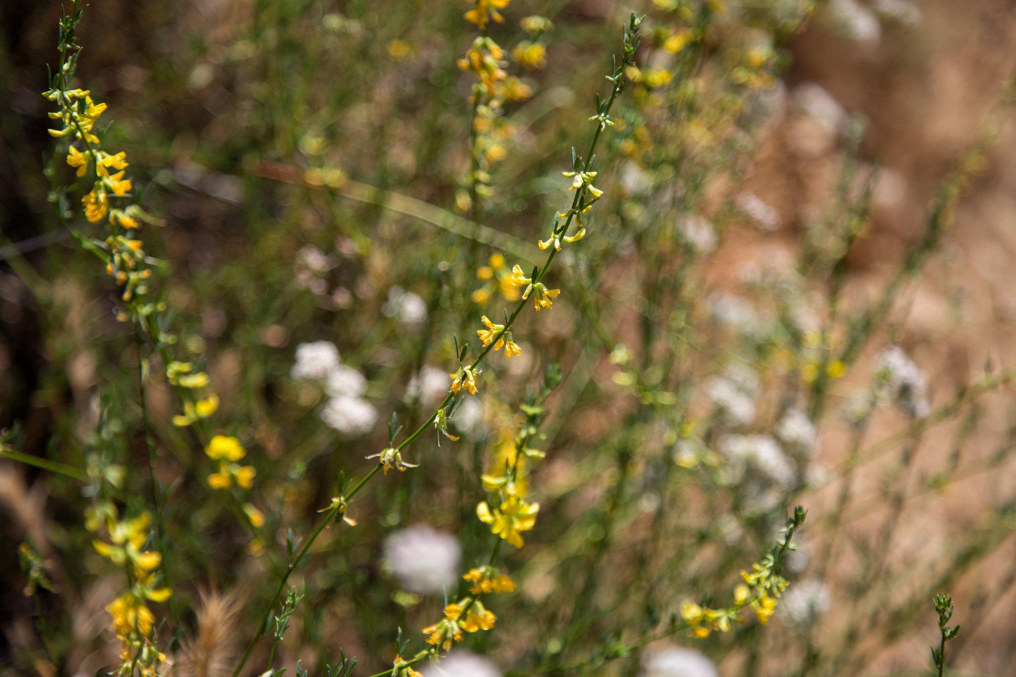 Deerweed