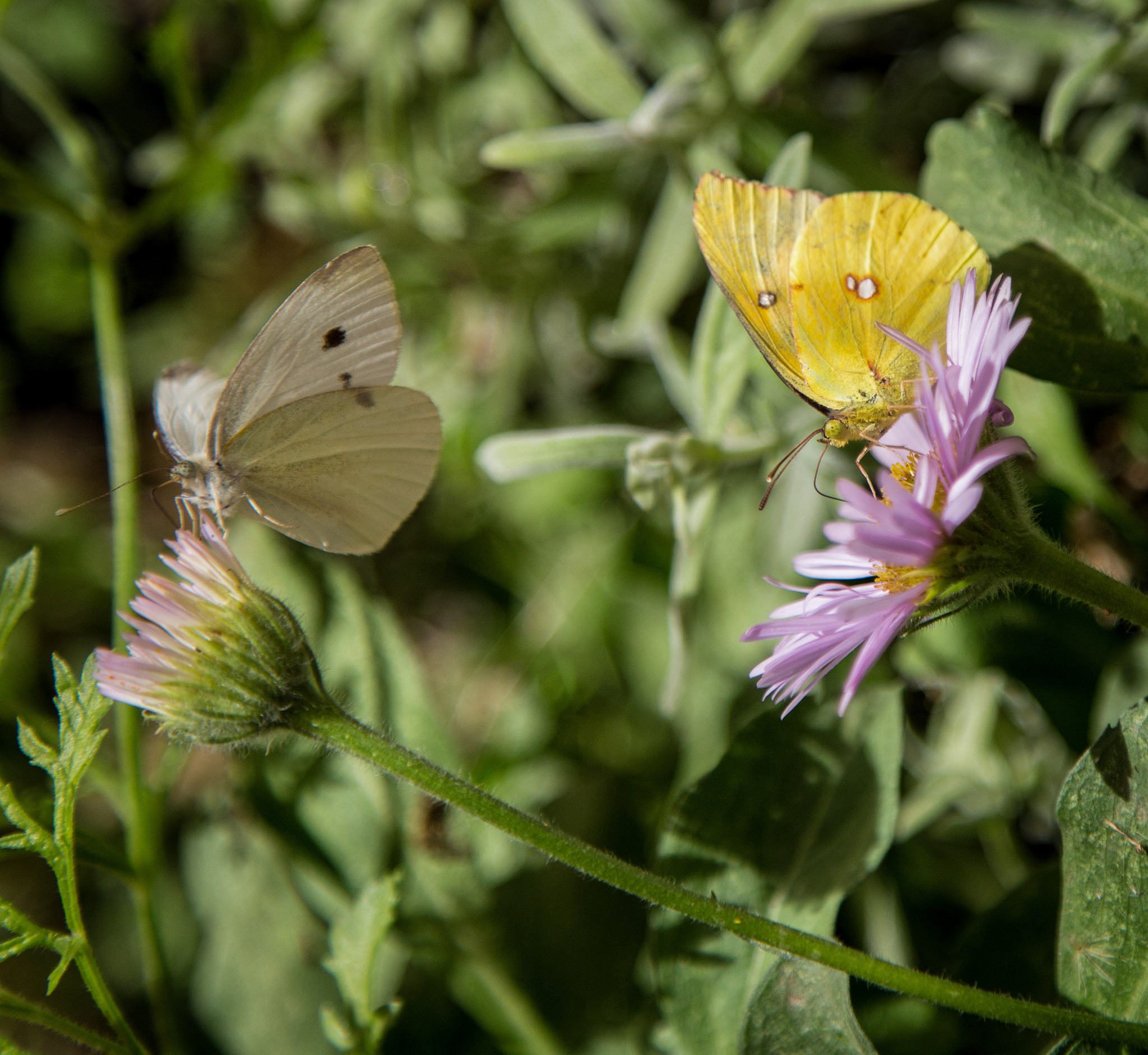 Cabbage White and California Dogface on Seaside Daisy