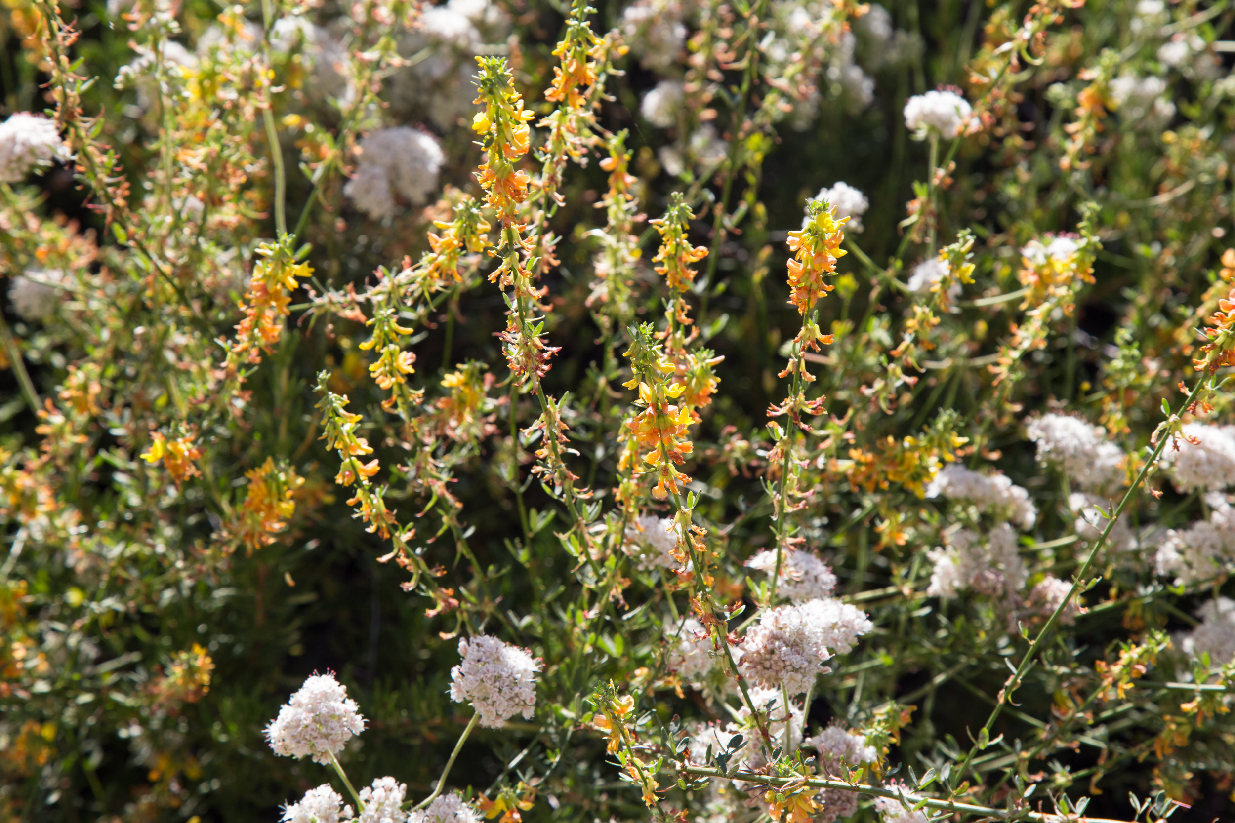 California Buckwheat and Deerweed