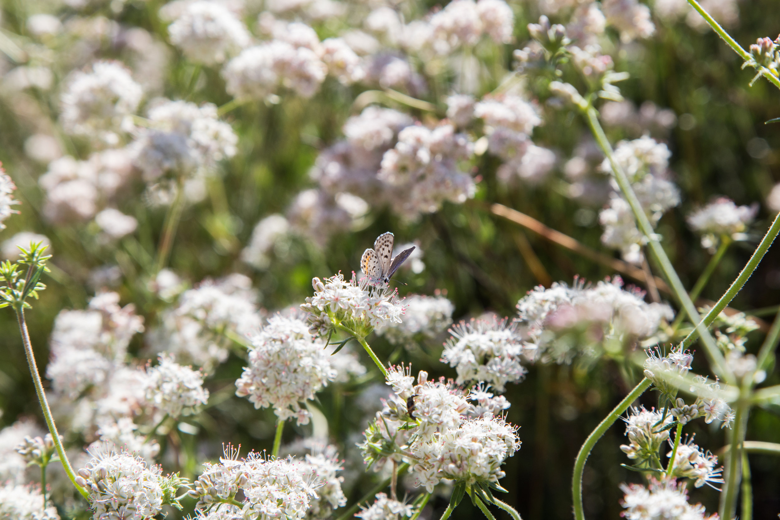 Bernardino Blue on California Buckwheat