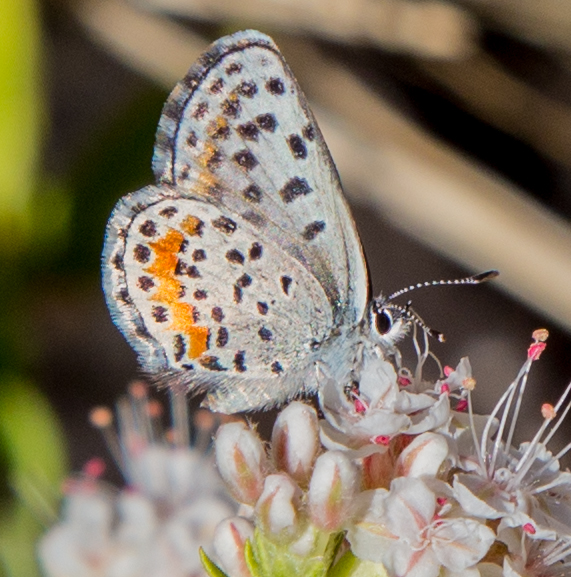 Female Bernardino Blue on California Buckwhea