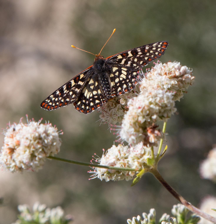 Chalcedon Checkerspot on California Buckwheat