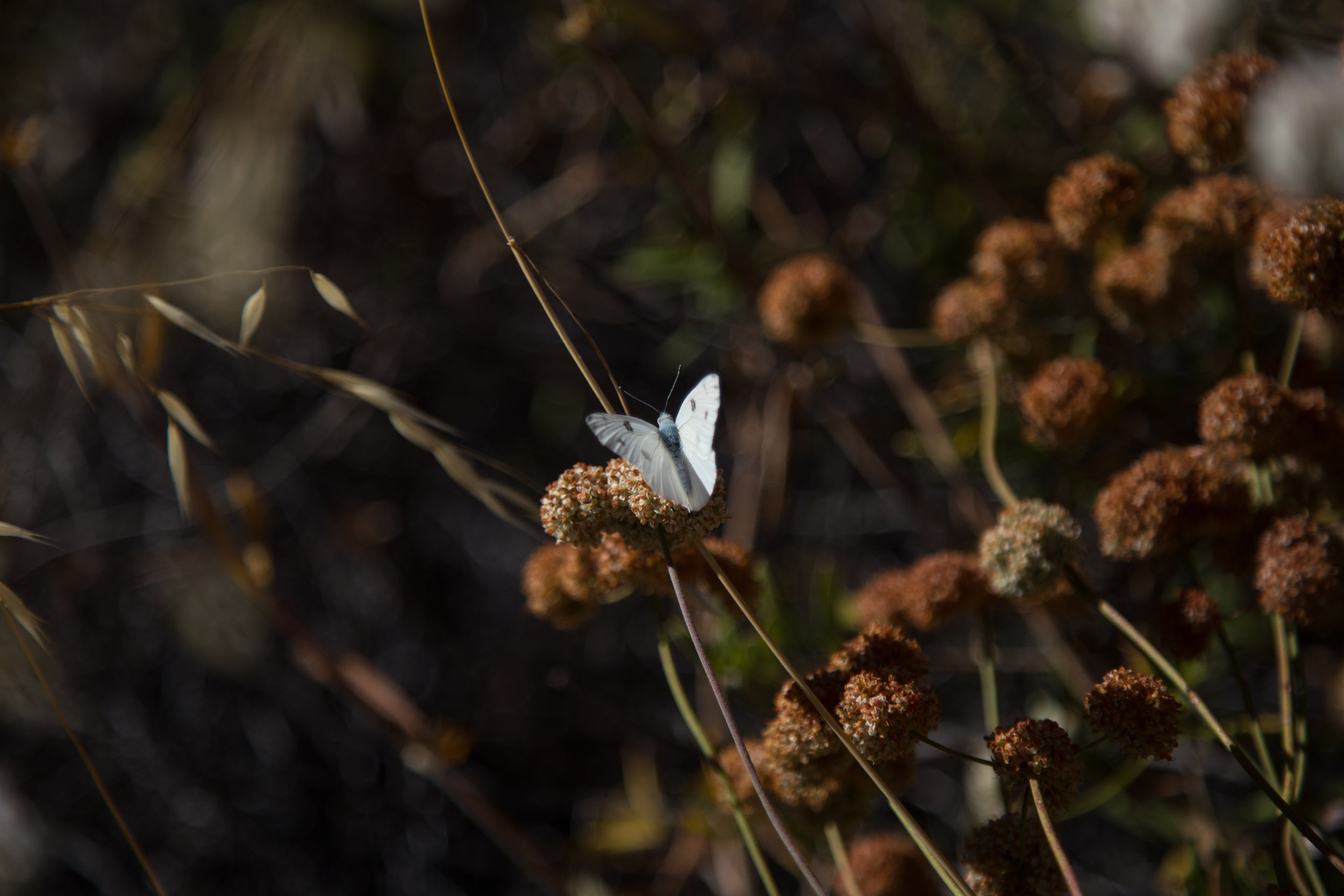 Checkered White, Pontia protodice, Male