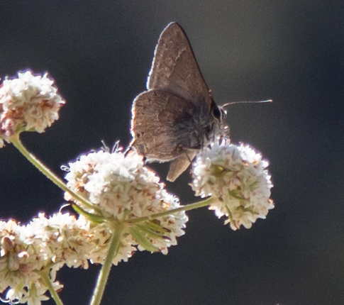 Hairstreak - Not sure what kind. This is the only shot I was able to get and it was pretty far away.