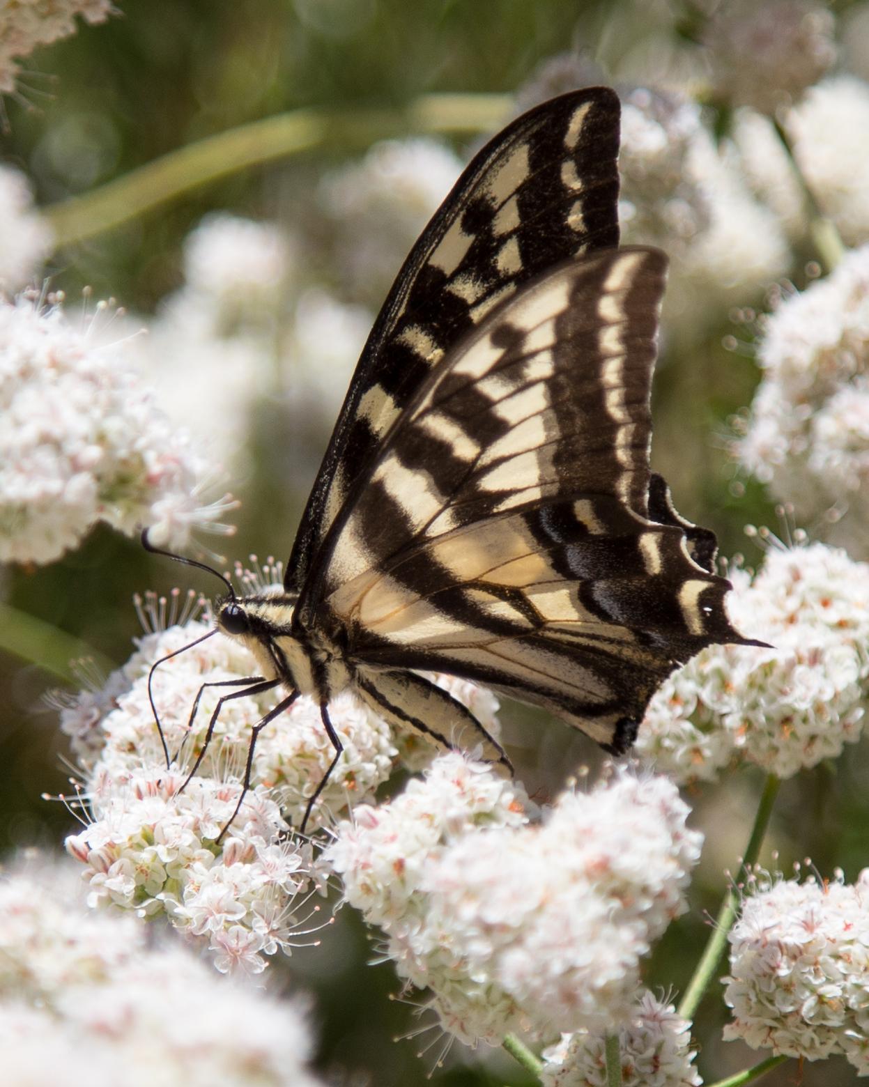 Pale Swallowtail, Papilio eurymedon