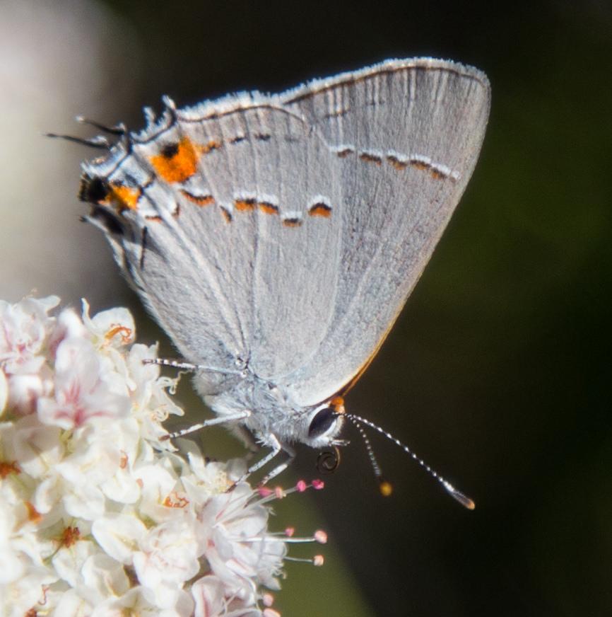 Gray Hairstreak, Strymon melinus pudica, female