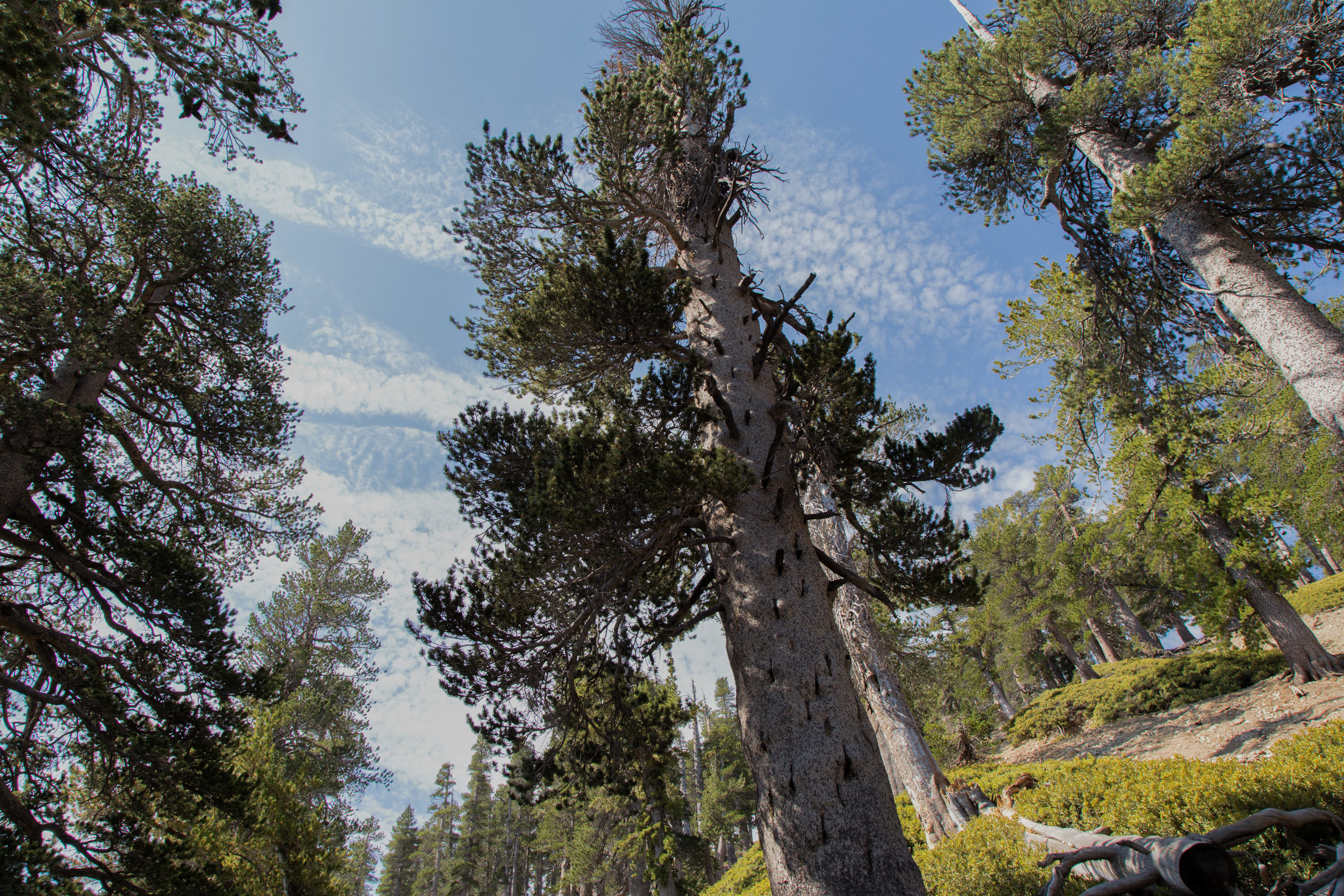 This trail is a nice way to see how the forest changes with altitude starting with oaks, Jeffrey pines, sugar pines and incense cedars. Then it changes to white firs and into lodgepole pines as the forest thins. Finally at about 9,000 ft. you begin to see the ancient, twisted limber pines.