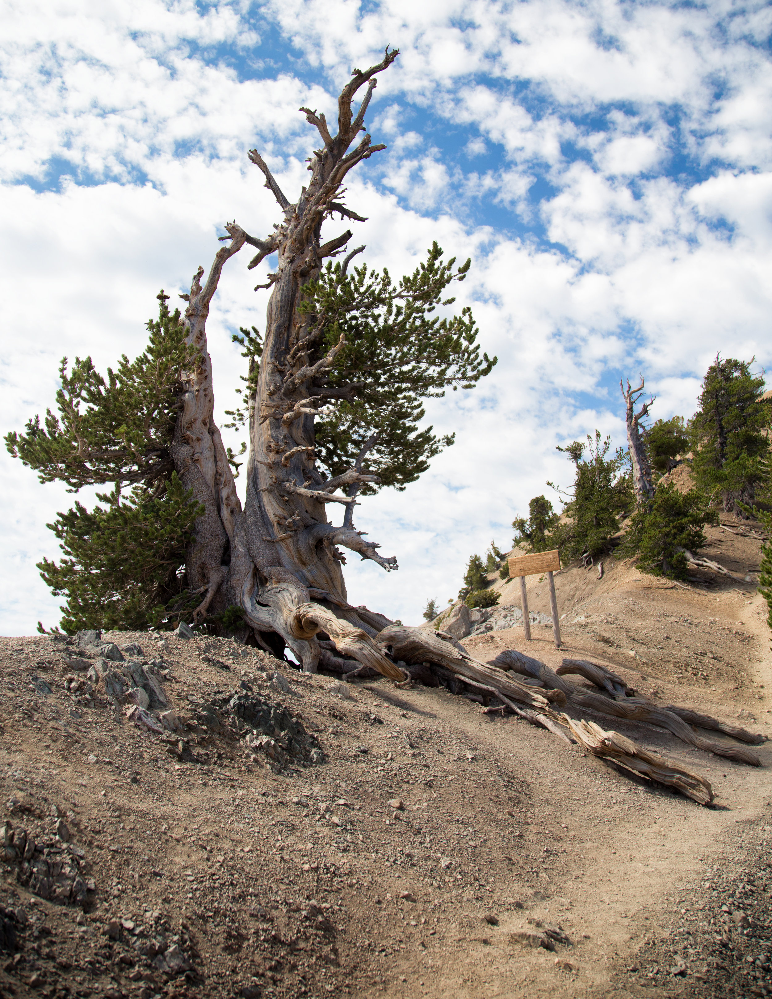 """On the ridge you'll come upon the magnificent Wally Waldron tree. It is one of the oldest living limber pines estimated at over 1,500 years old. It is named after Boy Scout leader, Michael """"Wally"""" Waldron."""