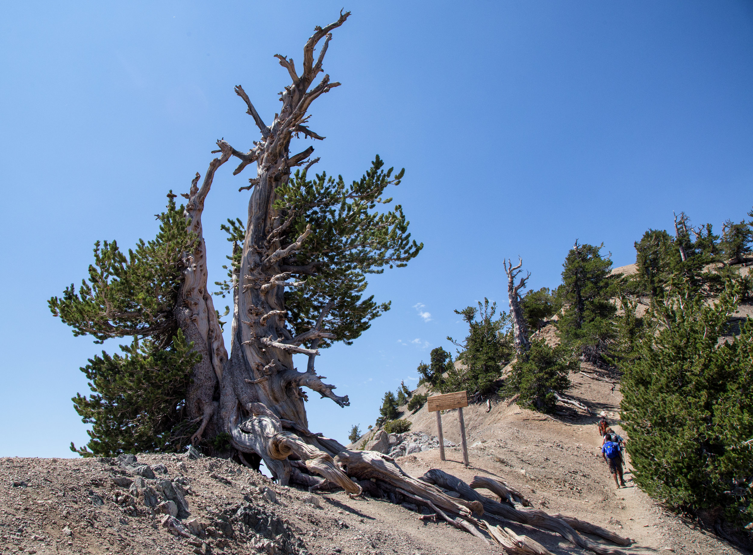 Some hikers going up as we were coming down the ridge with the Wally Waldron tree to the left.