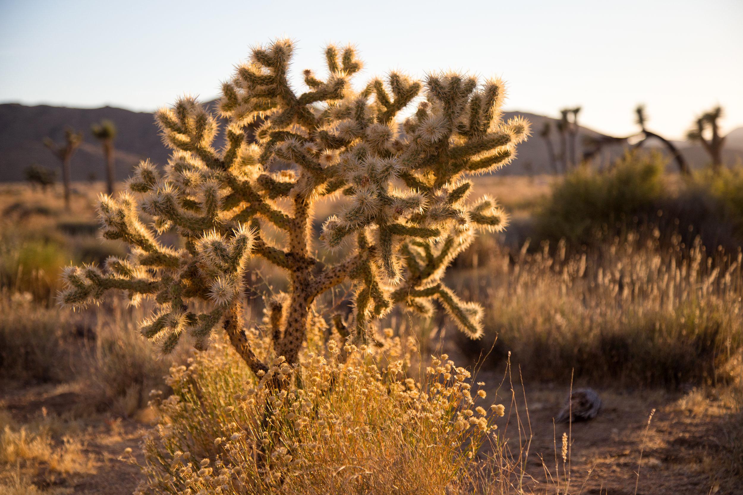 Cholla Cactus. Sunset at Cap Rock.