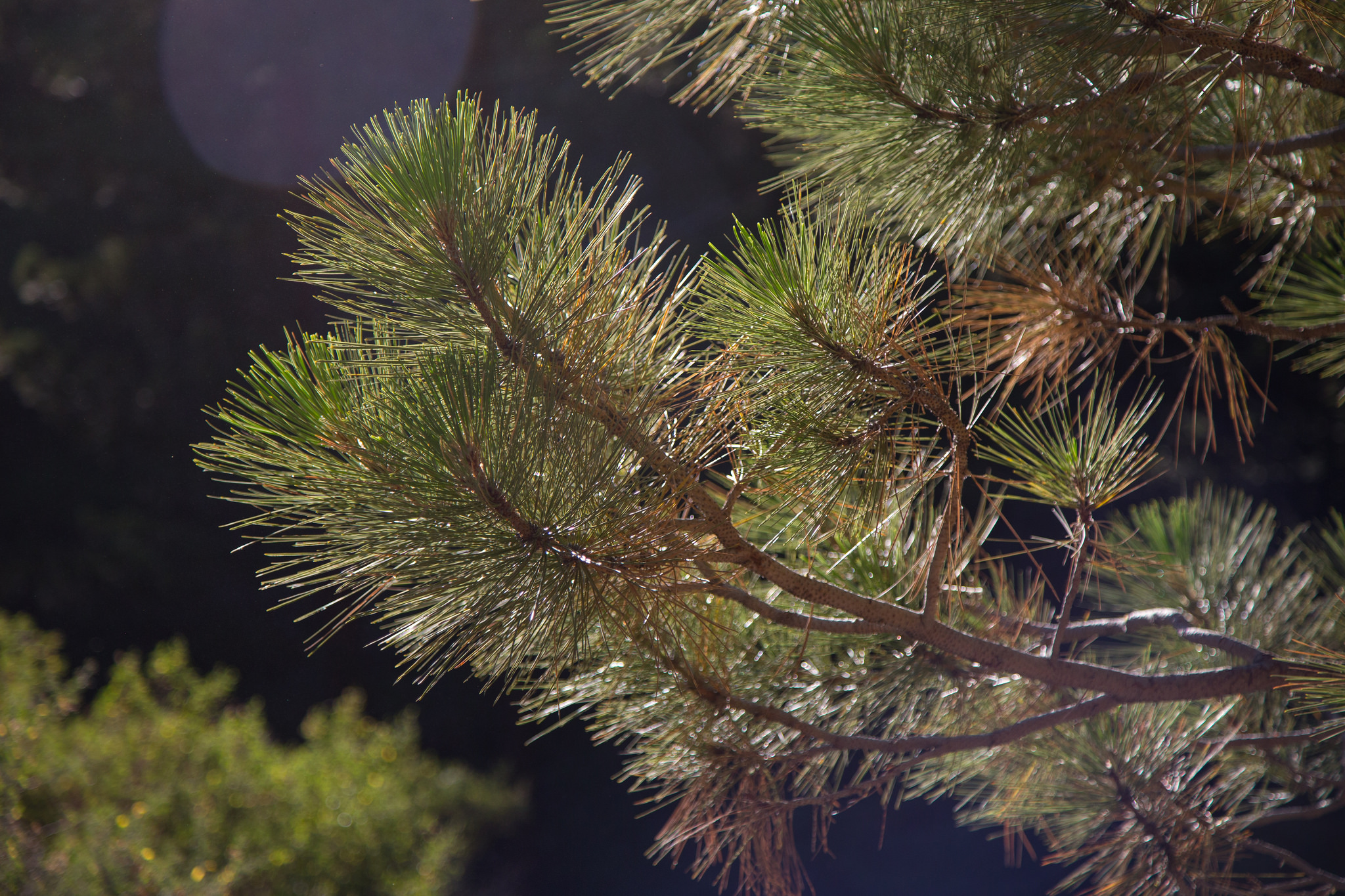Gorgeous pine in the morning sun.
