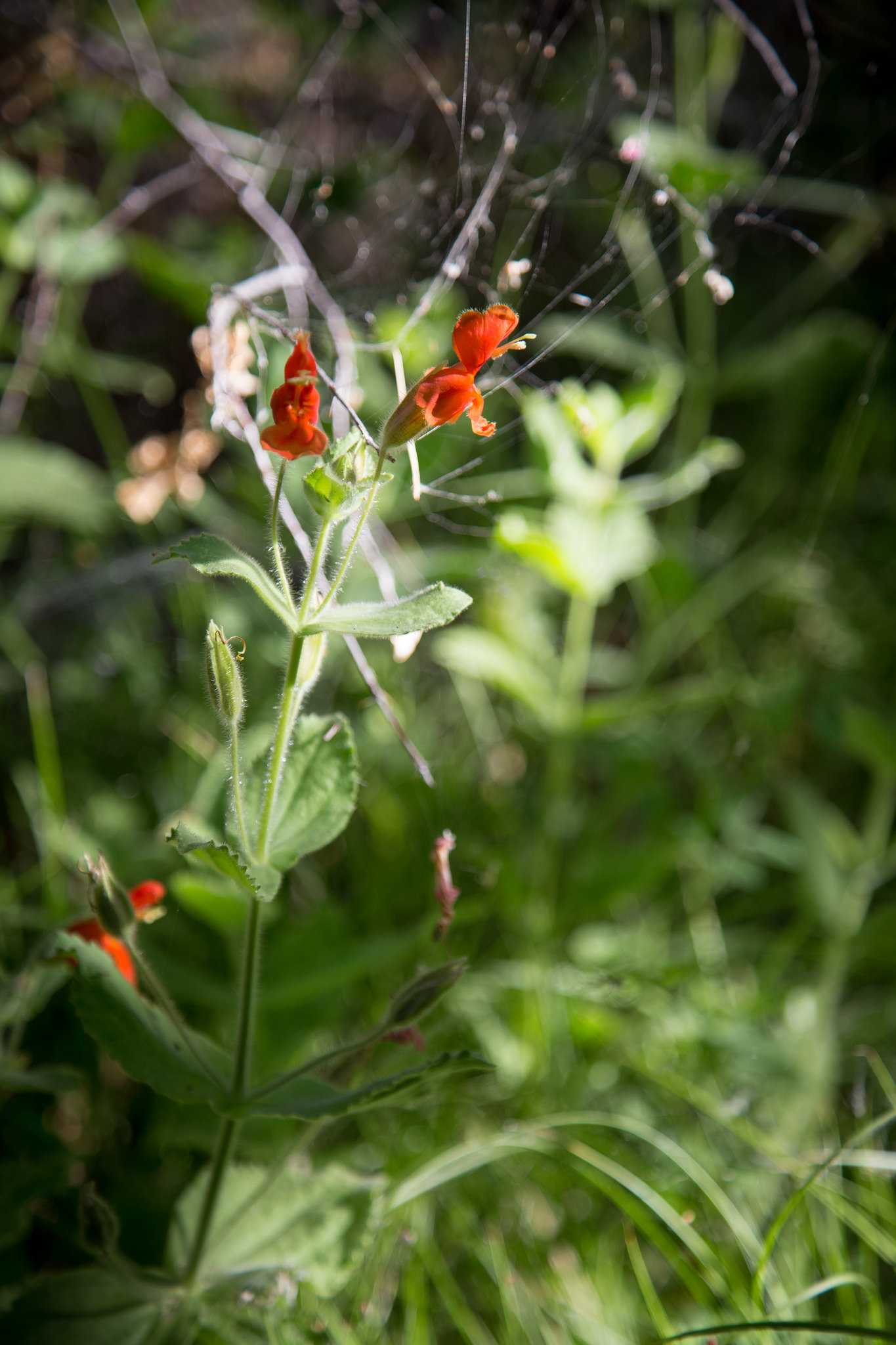 Scarlet Monkeyflower.