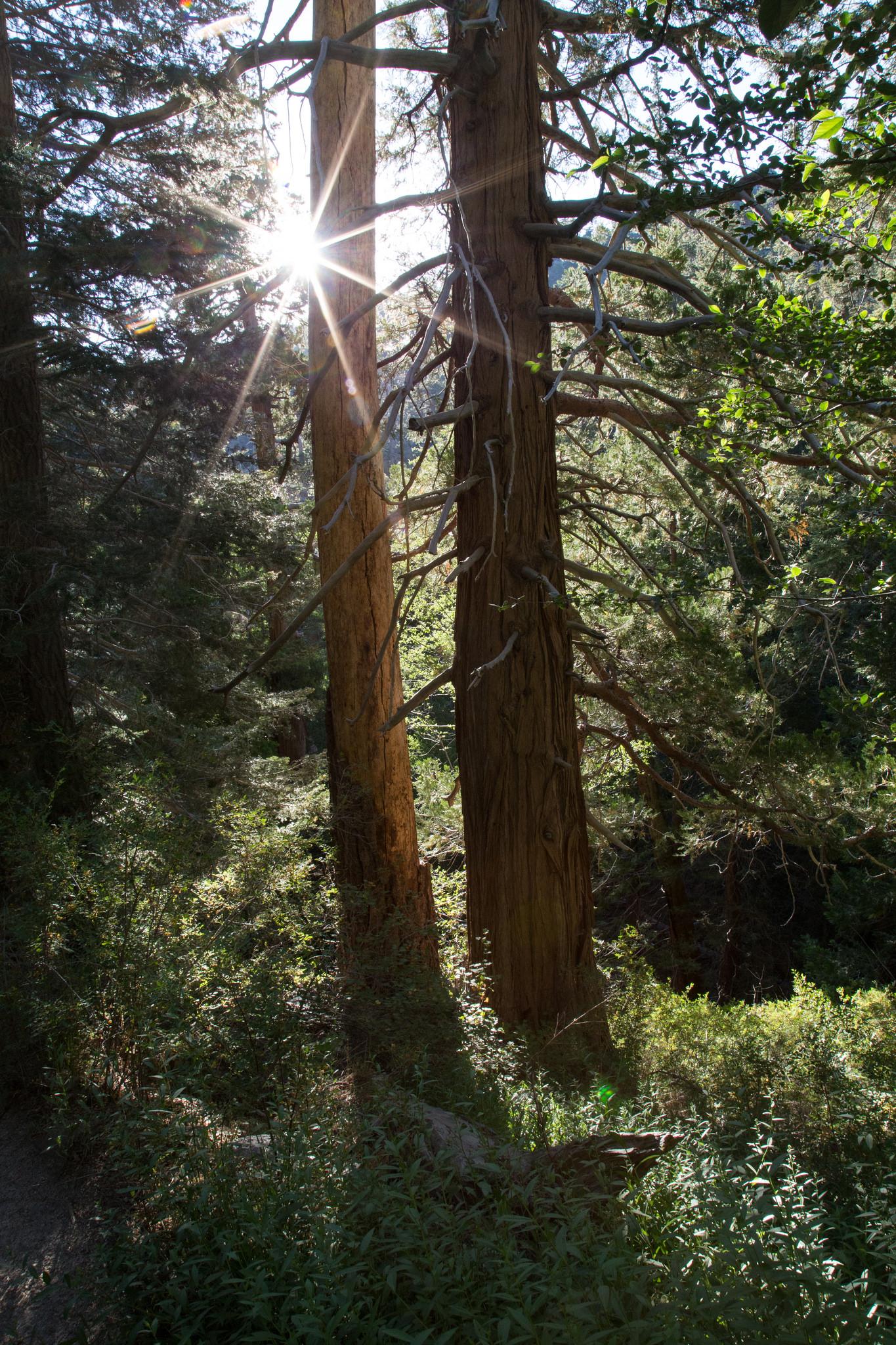 Morning starburst through towering trees.