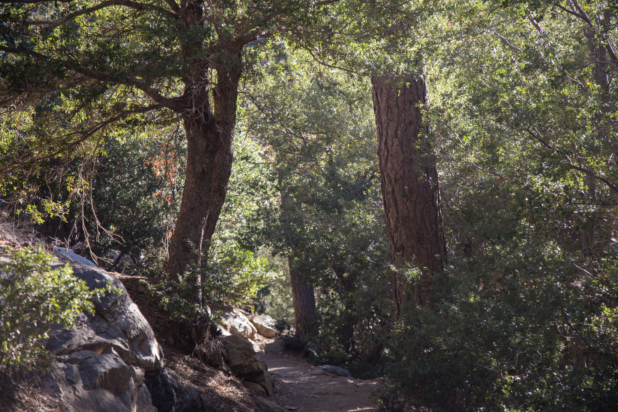 A beautiful canopy of shade along the journey. I saw two California Sister butterflies flying under the oaks and up and down the canyon.