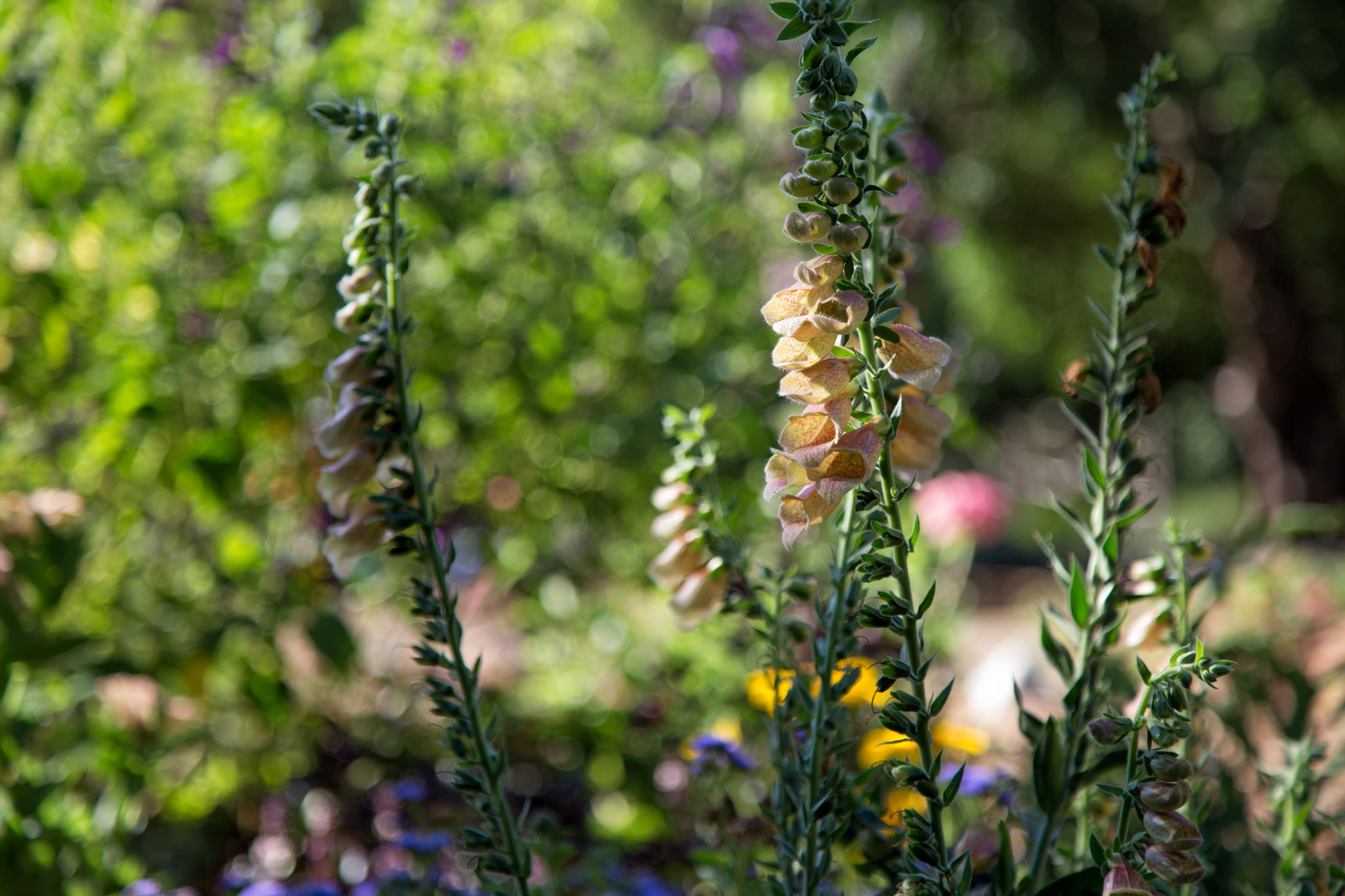 Foxgloves, aka witches' thimbles, fairy's glove, dead man's bells - A favorite of the fae, they will forever be one of my favorite flowers too along with Lily of the Valley.