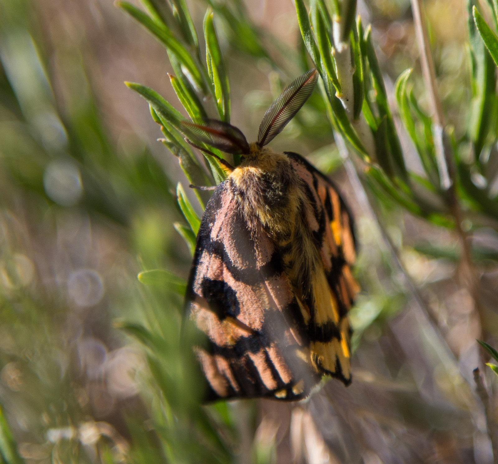I think this is a sheep moth. Saw him at o ver 8.000' on the way down.