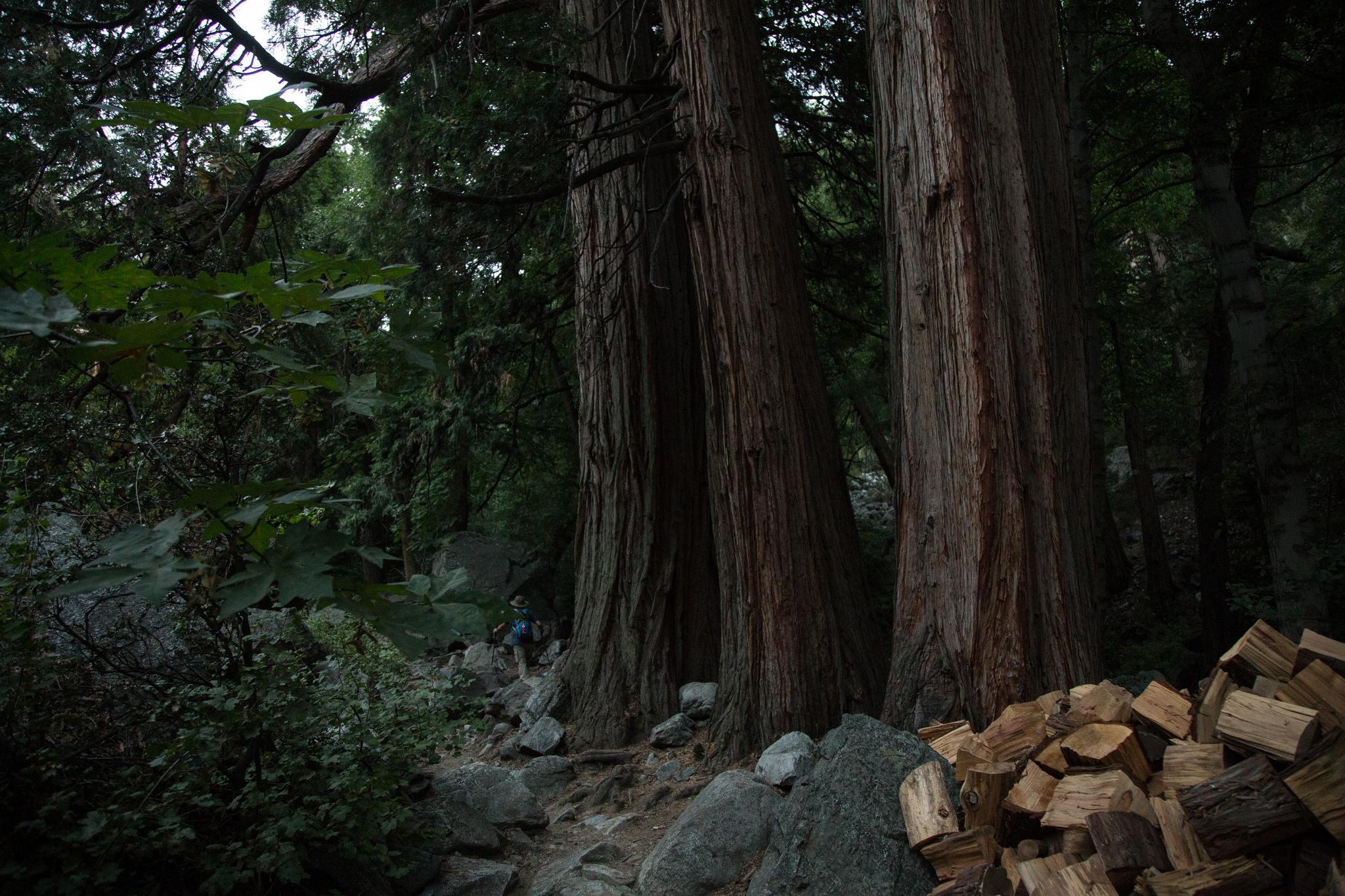 Towering Trees.