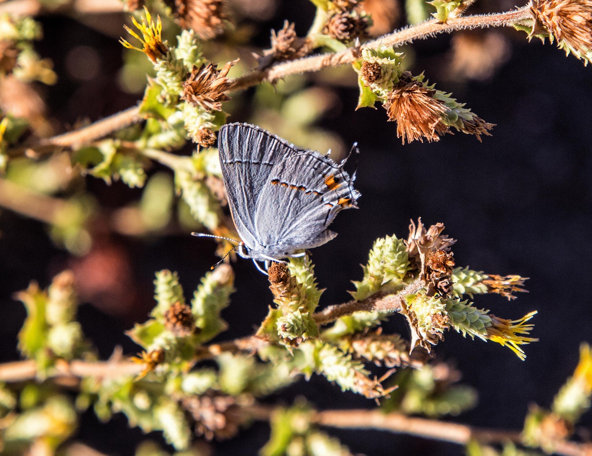 Gray Hairstreak on the Mishe Mokwa Trail