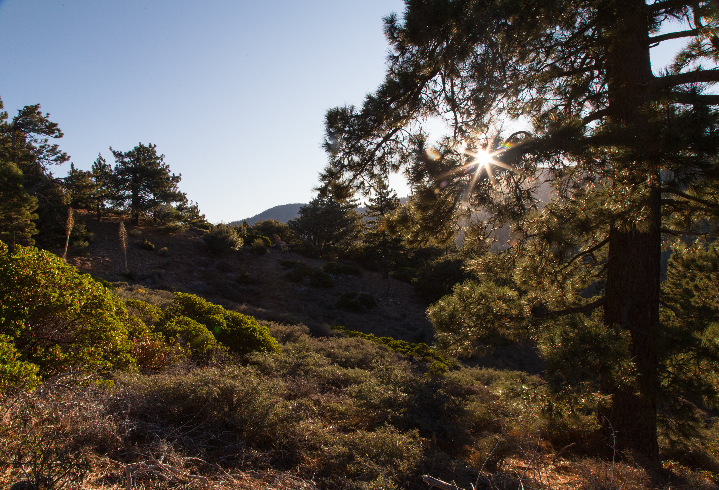 Morning sun through a pine on the PCT.
