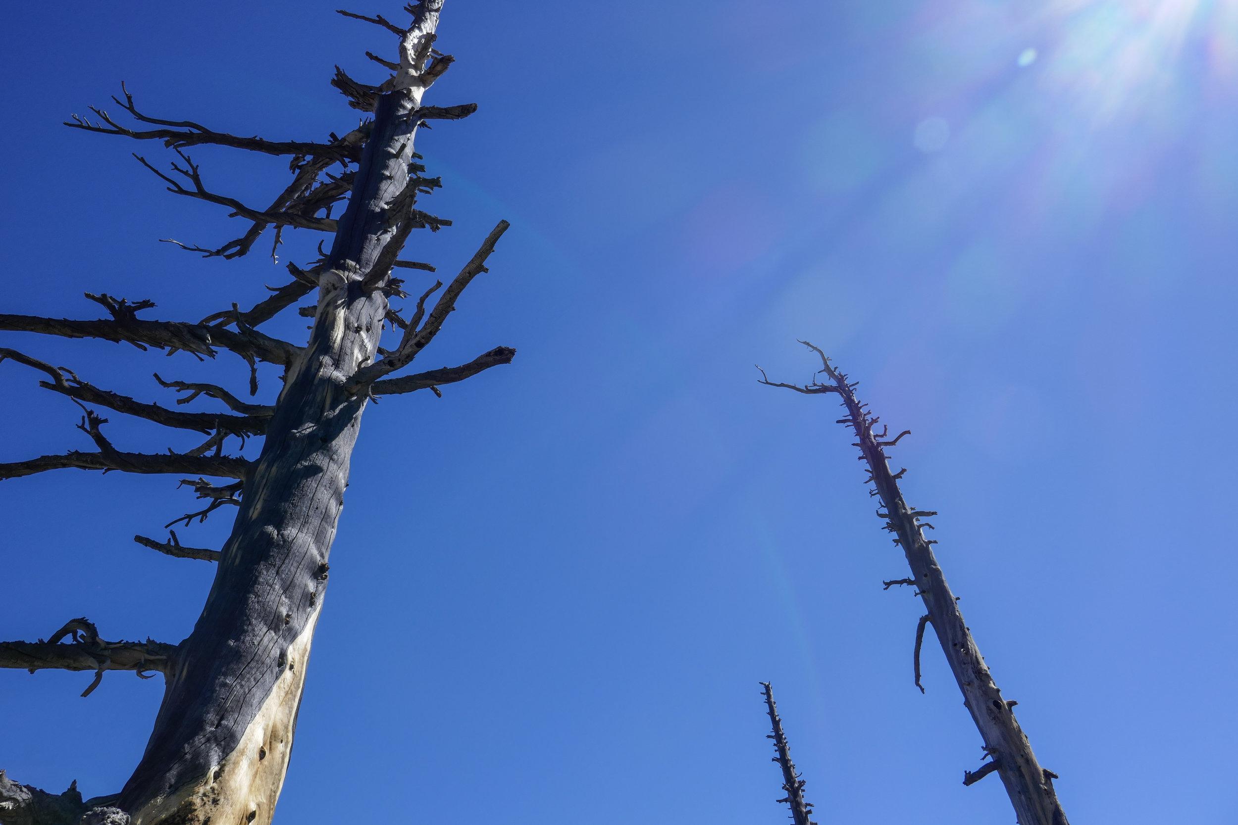 Dead trees.