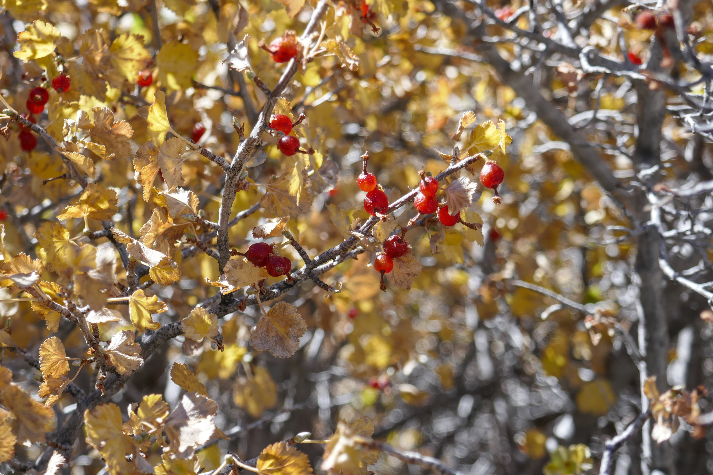 I think these berries are what the all the birds in this section were eating.