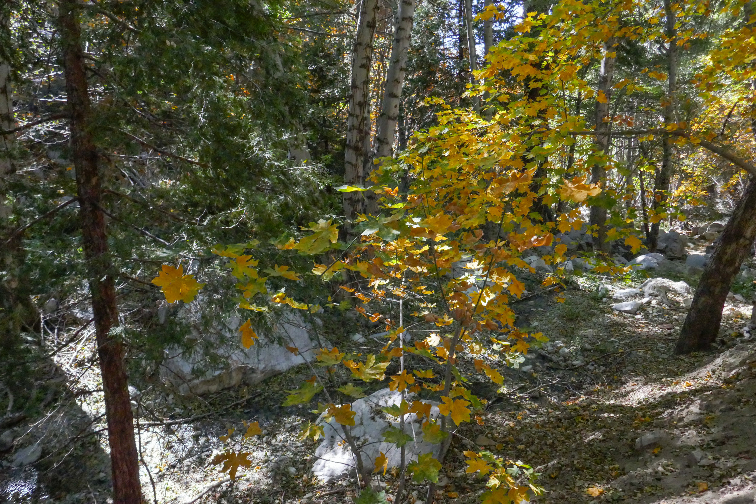 Now back in the canyon, we enjoyed the sound of the creek along with the golden leaves glistening in the afternoon sunshine.