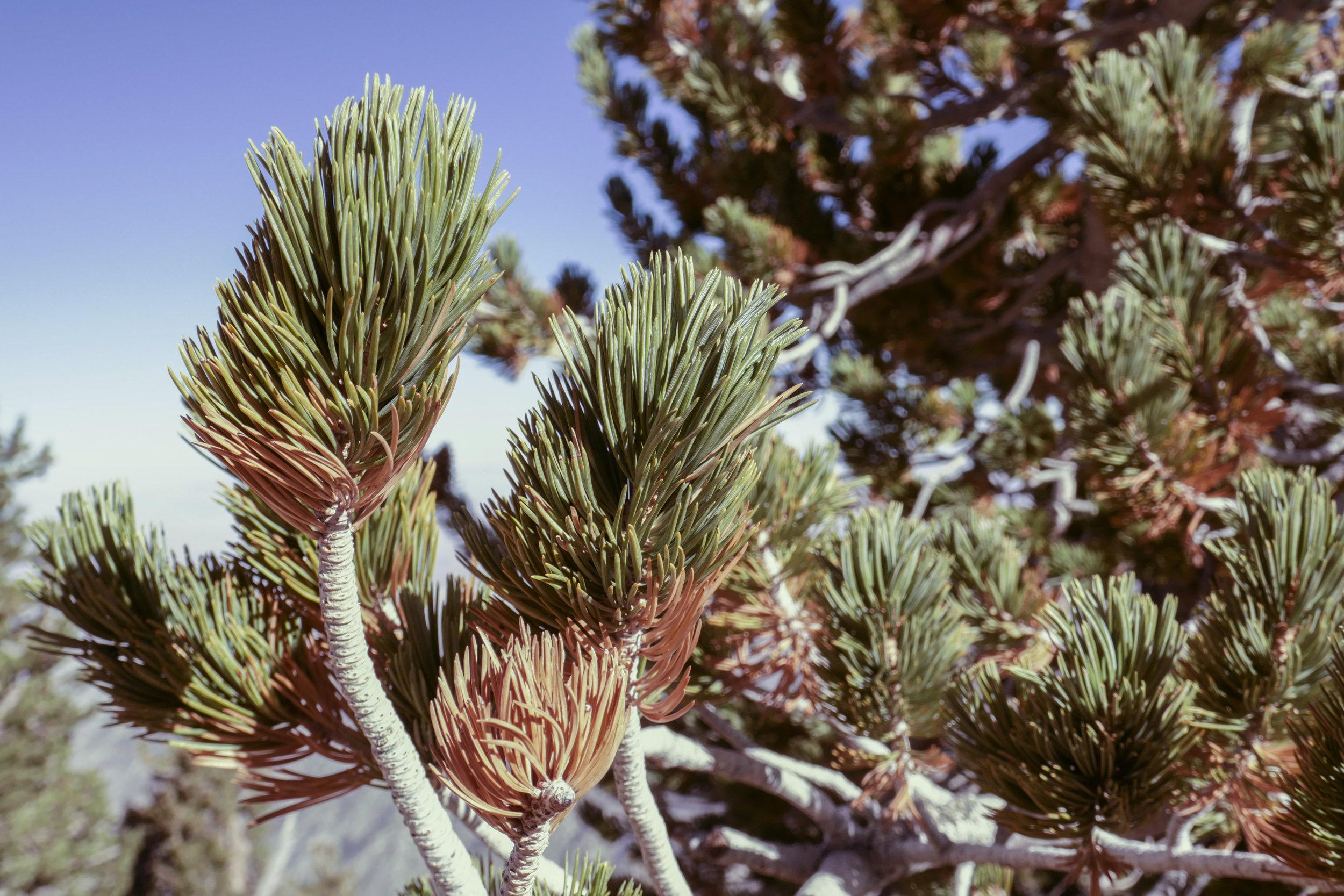 Close up of a limber pine.