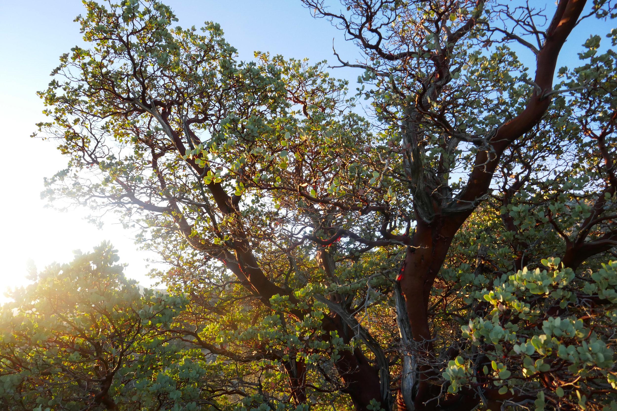 Manzanita in the morning light.