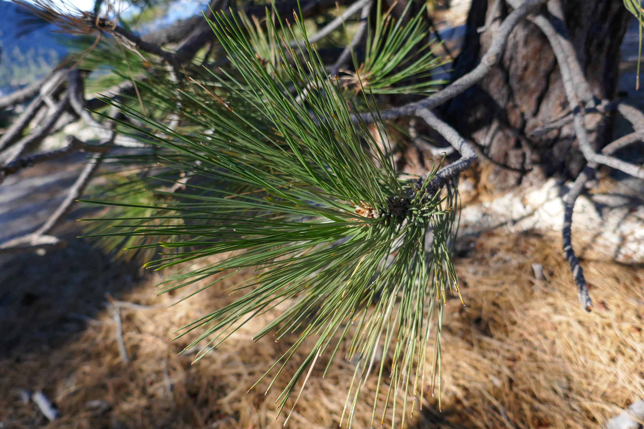 Delisious pine.