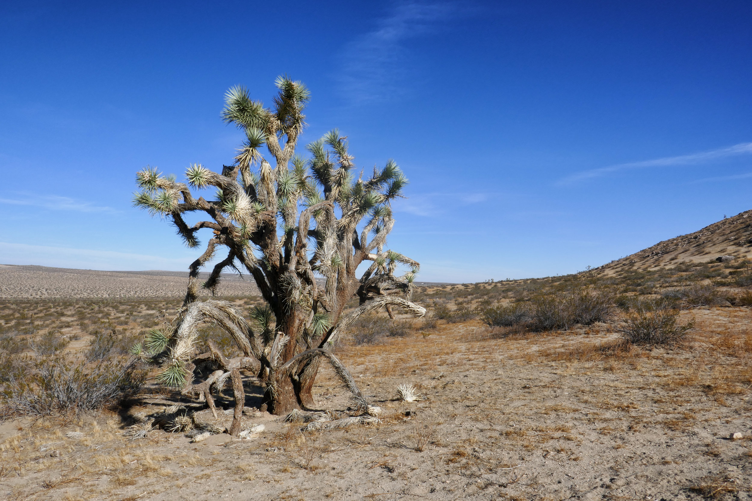 There are some really old Joshua Trees here.