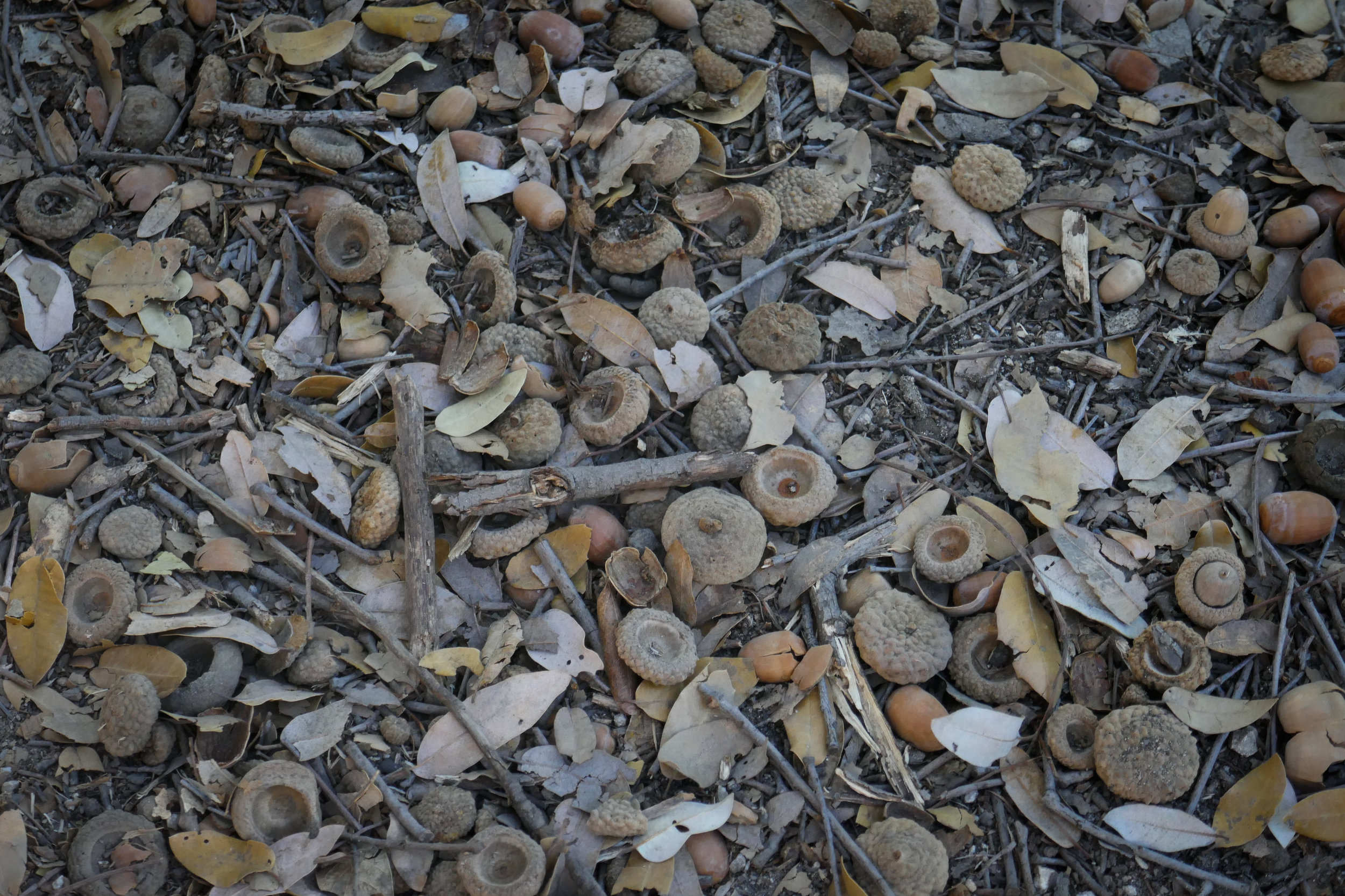 Lots of acorns. The squirrels must be so happy.
