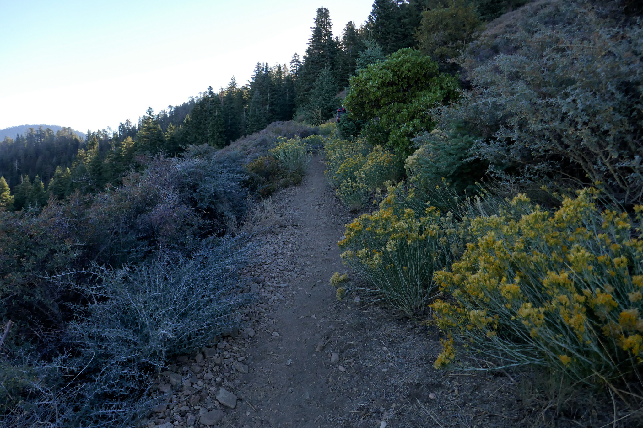 Rabbit brush abounds on this first section. Lots of insects are enjoying the golden blooms.