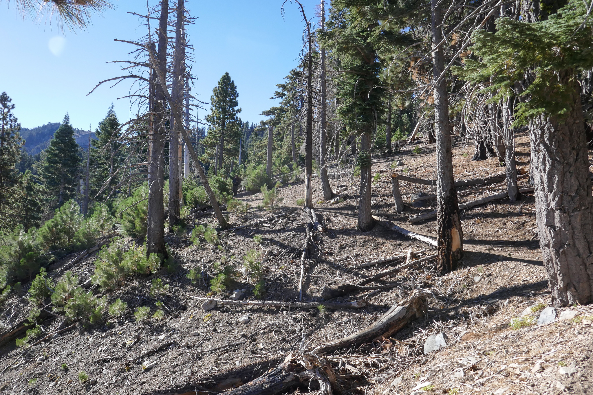 We hike along a more exposed section of trail. There are many baby pine trees here.