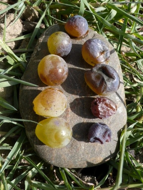 In Sauternes, France botrytis slowly develops into noble rot on ripe grapes and gives the wine unique aromas, colour, and flavour.  Note the golden colour of grapes changing to grey as the infection increases - http://www.myquem.com/noble-rot/