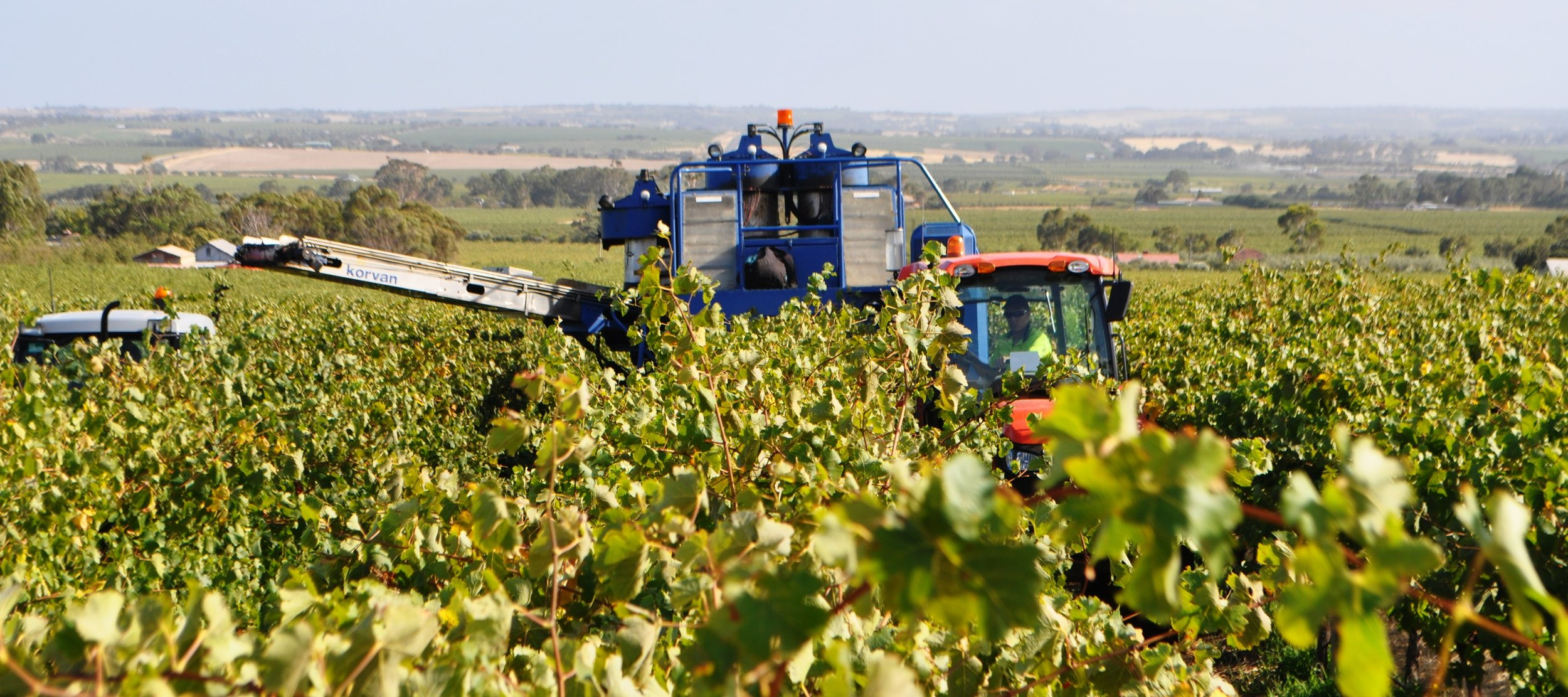 Harvest at the Rosedale Vineyard: Sellicks Foothills: McLaren Vale Wine Region.