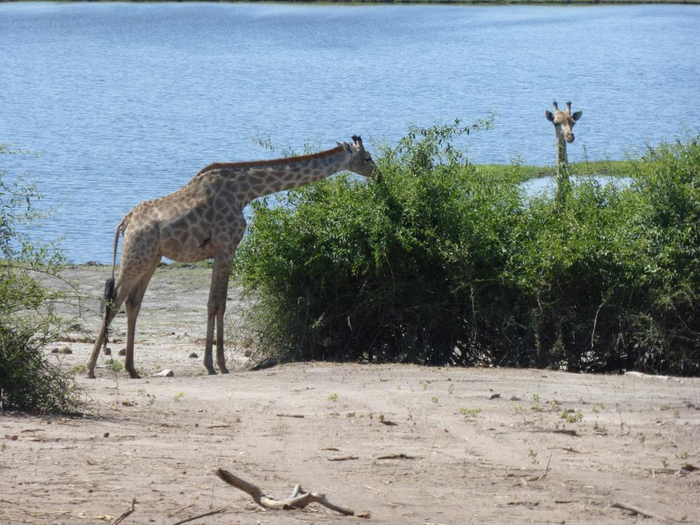 "This is one of our favorite pics so far...we call it ""Peek-A-Boo Giraffe"""