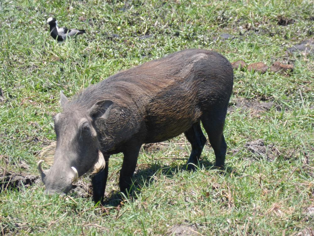 "We all love the warthogs...they are totally harmless (unless you are grass).  The locals call them ""The Lawn Mowers."""